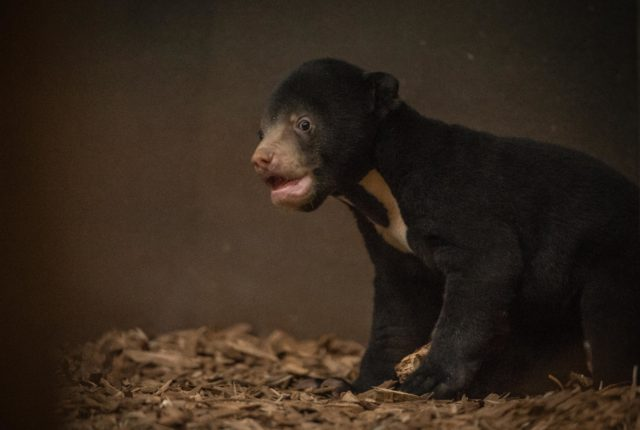 The first sun bear cub to be born in the UK explores her home at Chester Zoo (Chester Zoo/PA)