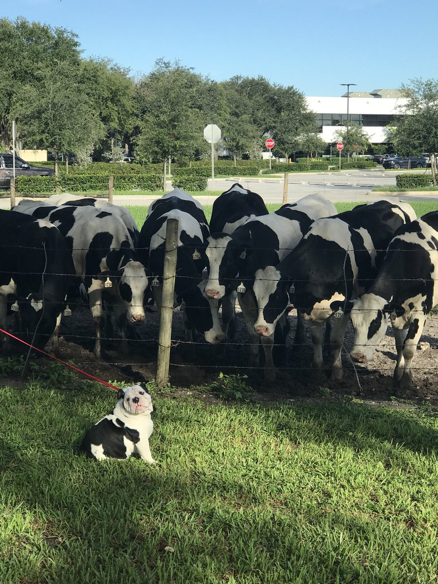 Tofu and the bovine friends