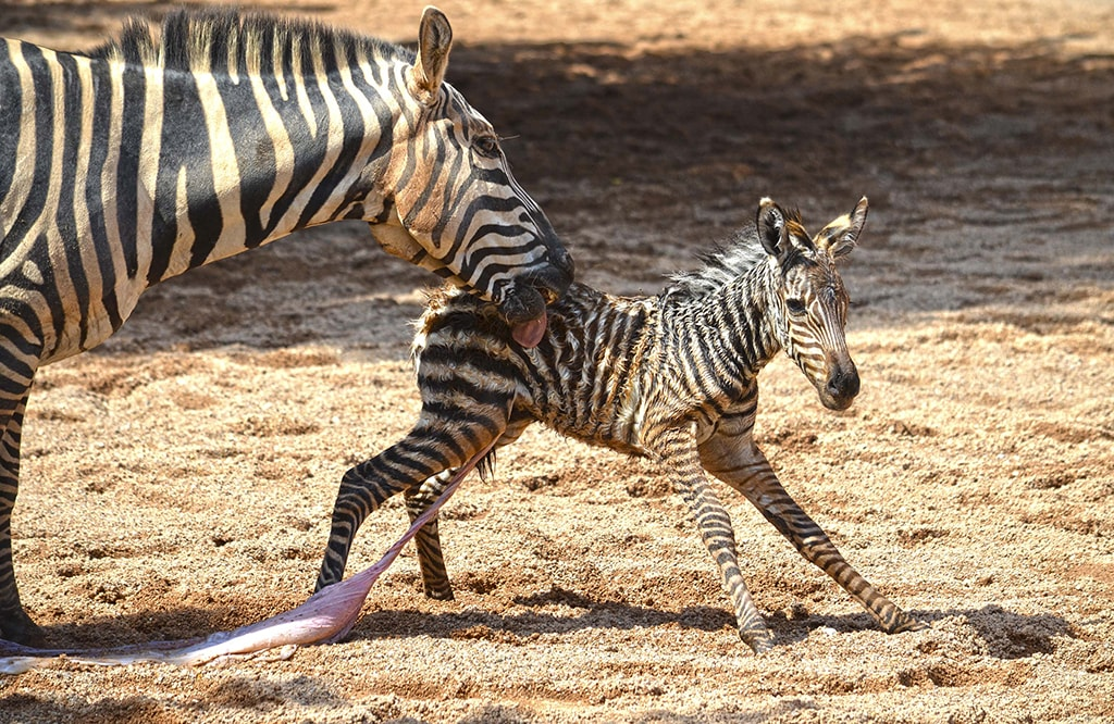 The little zebra with his mother
