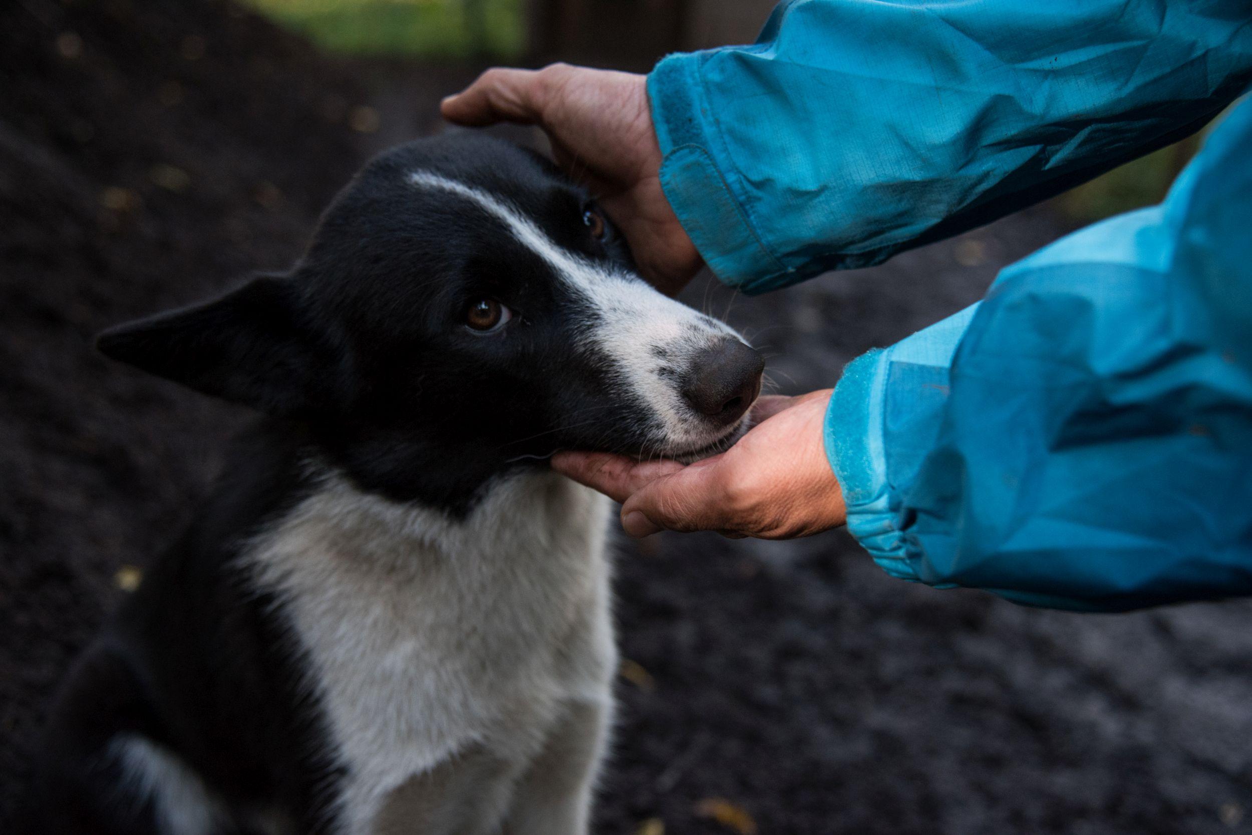 Karelian bear dog was trained to
