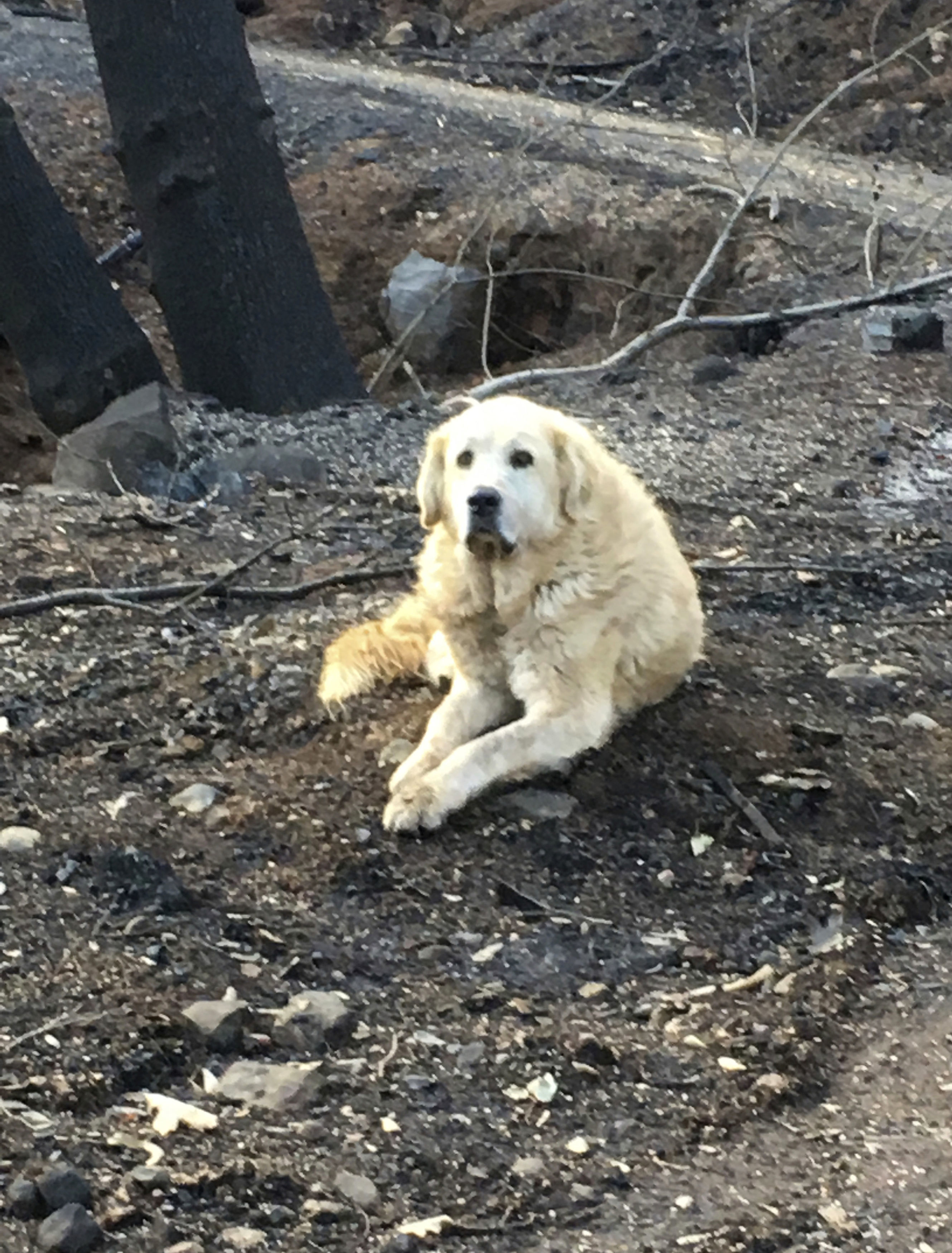 "photo provided Shayla Sullivan shows ""Madison,"" the Anatolian shepherd dog that apparently guarded his burned home for nearly a month until his owner returned in Paradise, Calif."