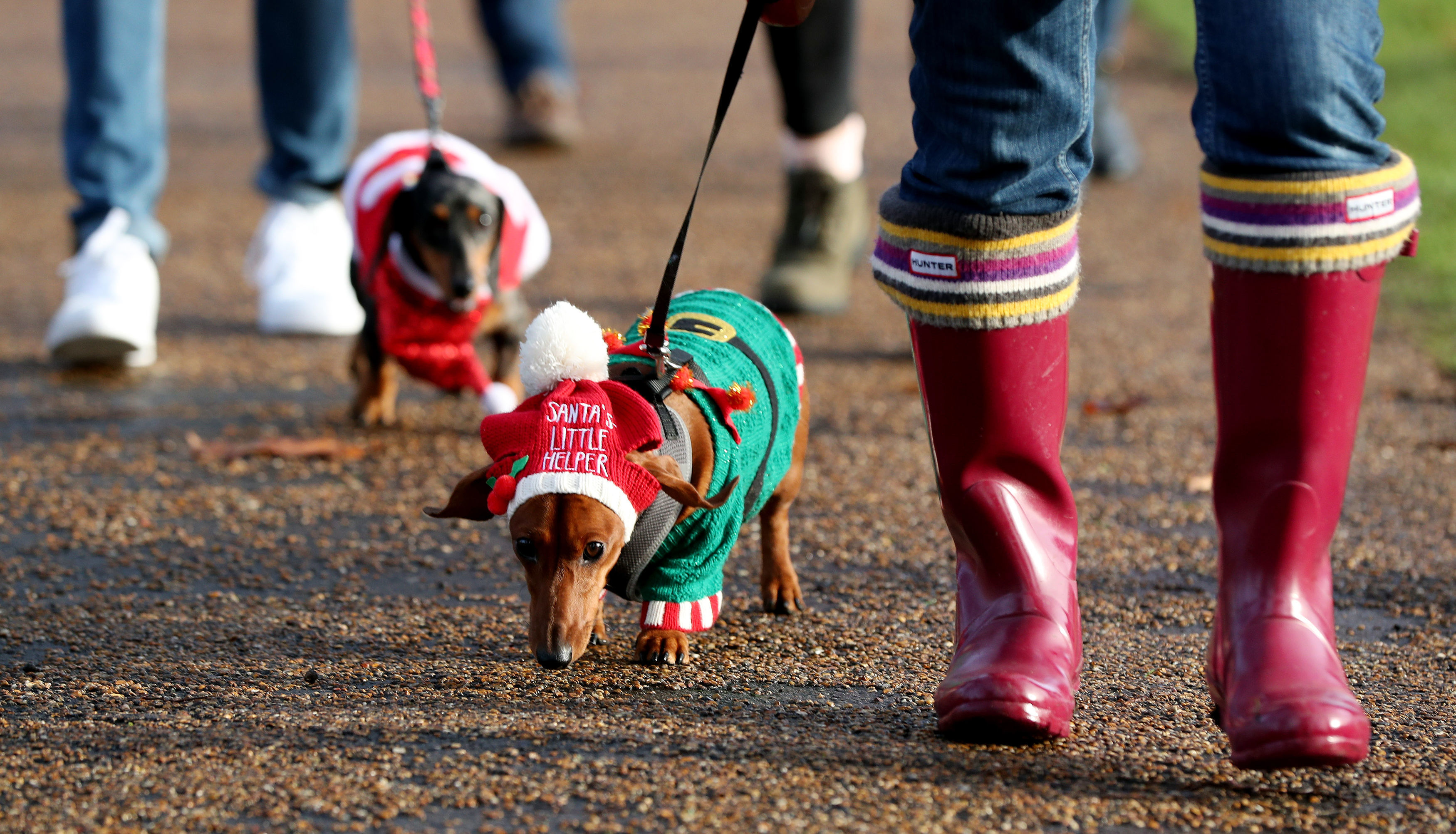 Dachshund Maya takes part in a sausage dog festive walk in Hyde Park