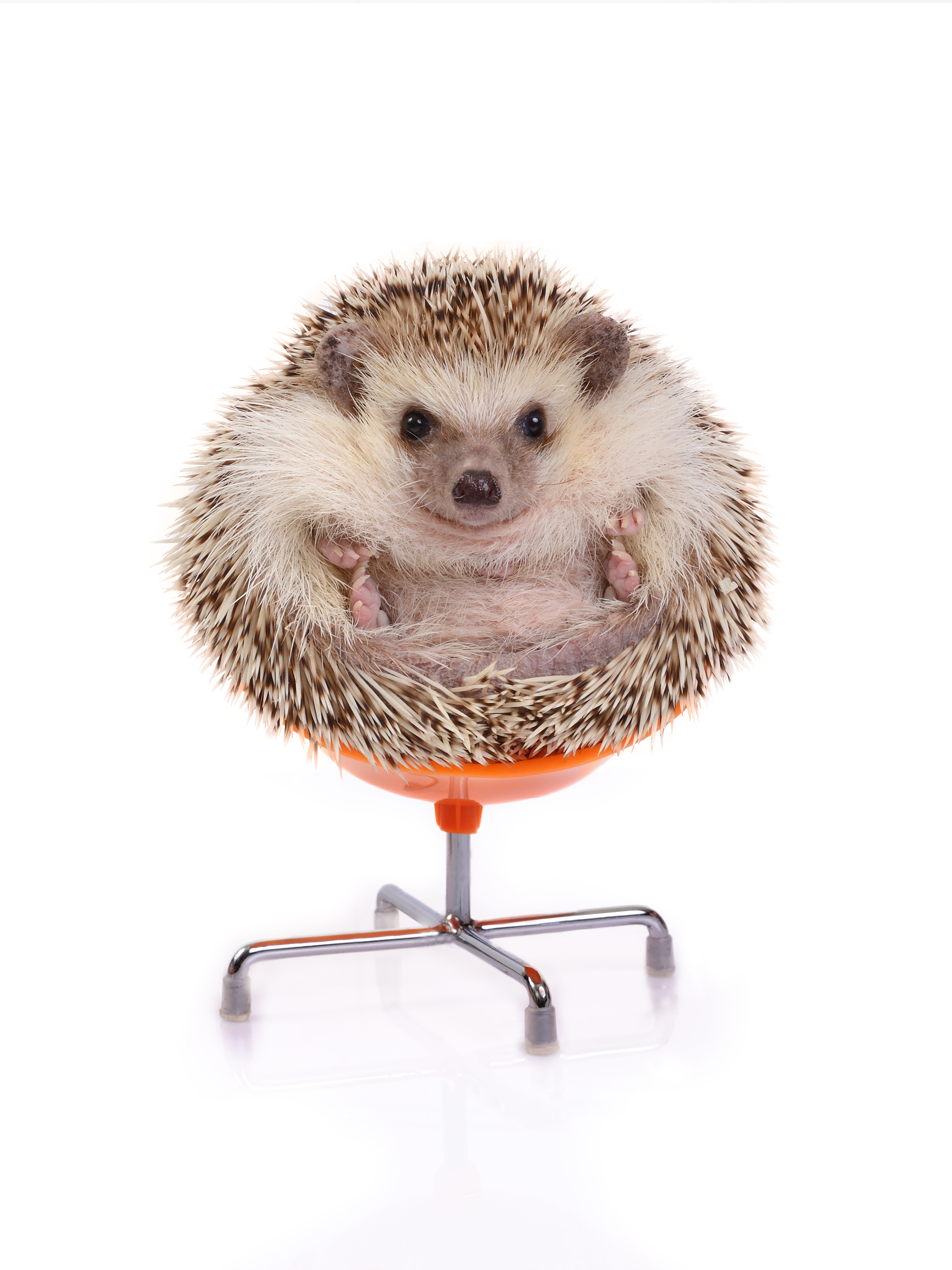 A cute hedgehog on a chair