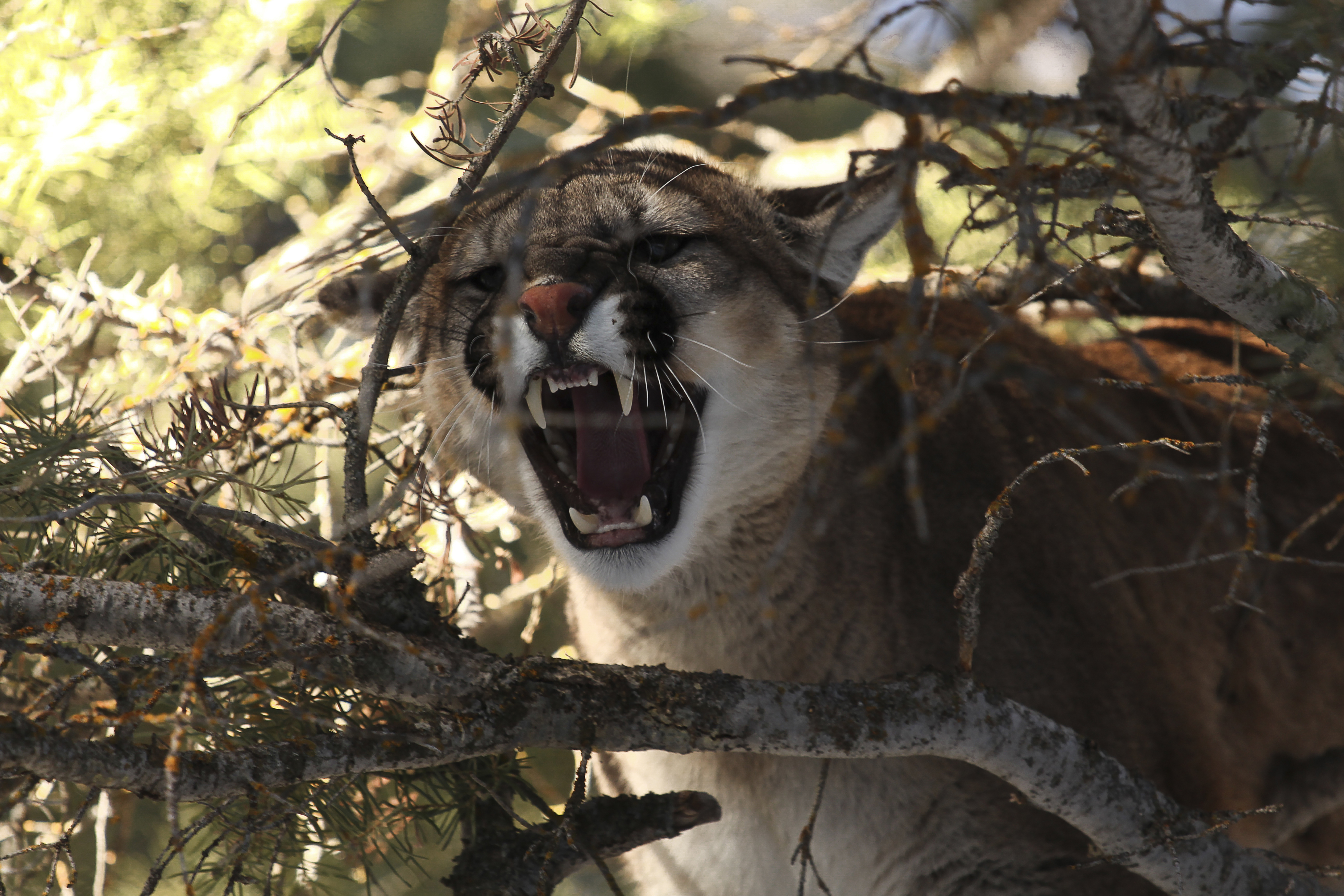 A cougar roars