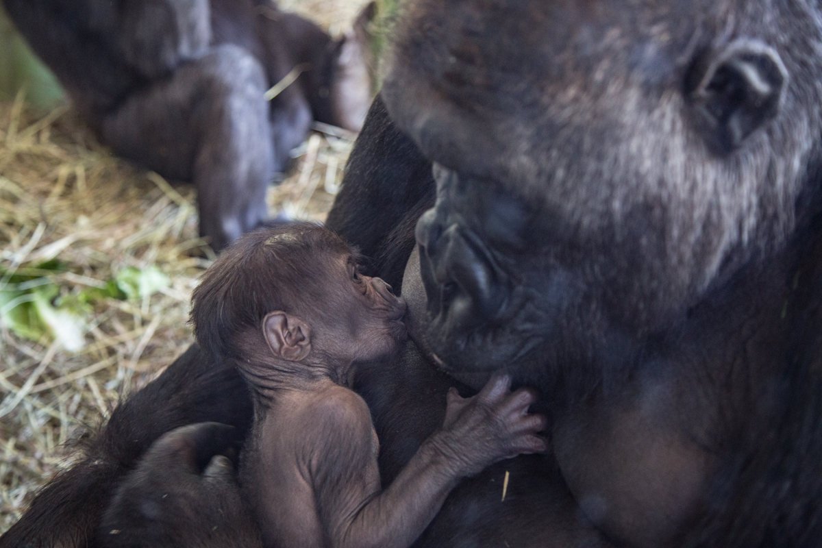 Rollie feeds her newborn infant gorilla