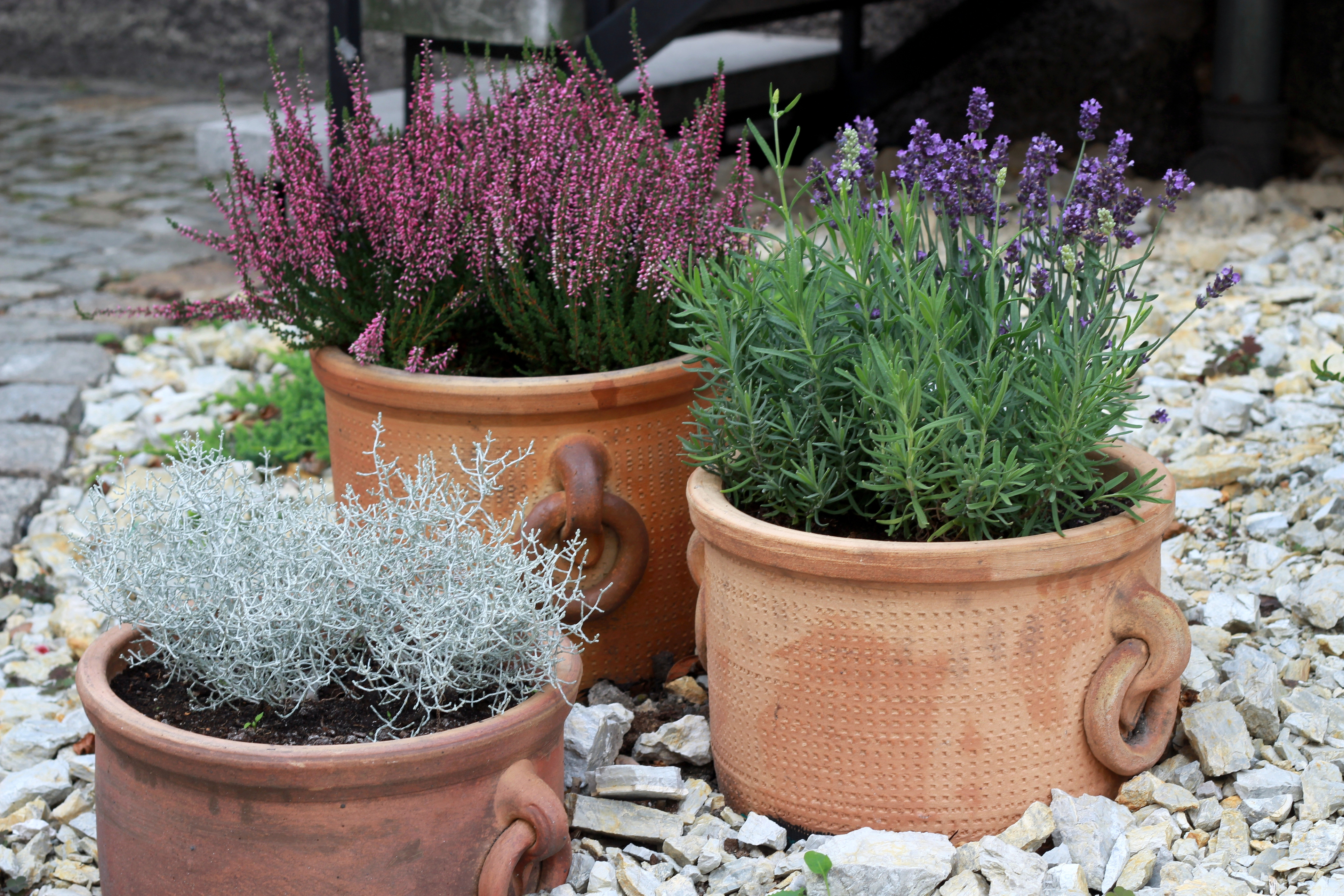 Lavender and heather are both low-maintenance in pots (iStock/PA)