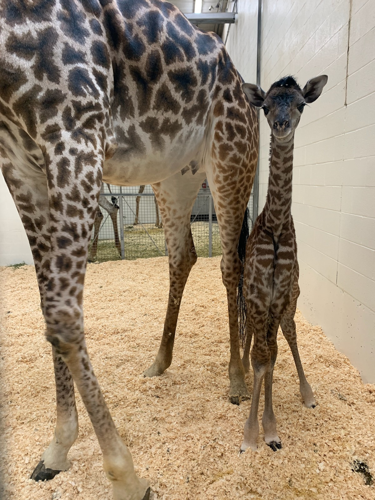 A young giraffe calf with its mum Tessa at Cincinnati Zoo