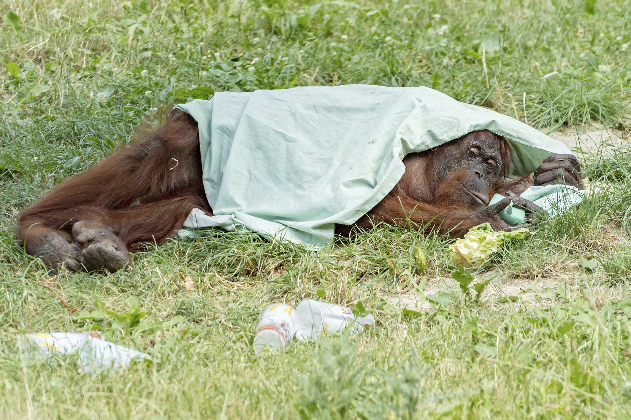 A handout picture of an orangutan taking shelter from the sun under a blanket at the zoo Schoenbrunn in Vienna, Austria