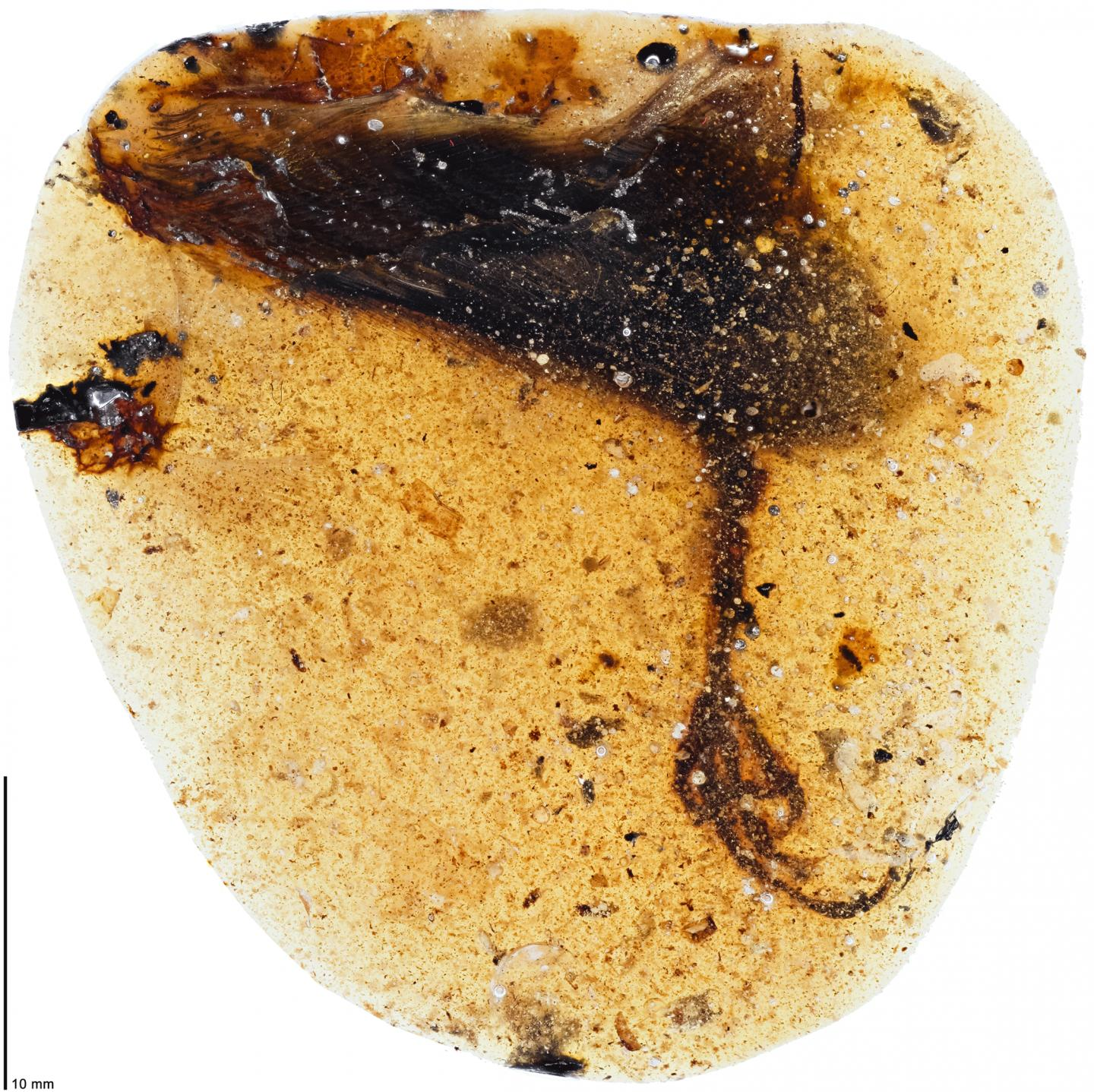 Bird with freaky long toes found in 99 million-year-old amber