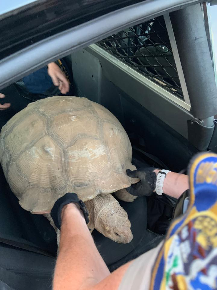 A tortoise being put into a police car