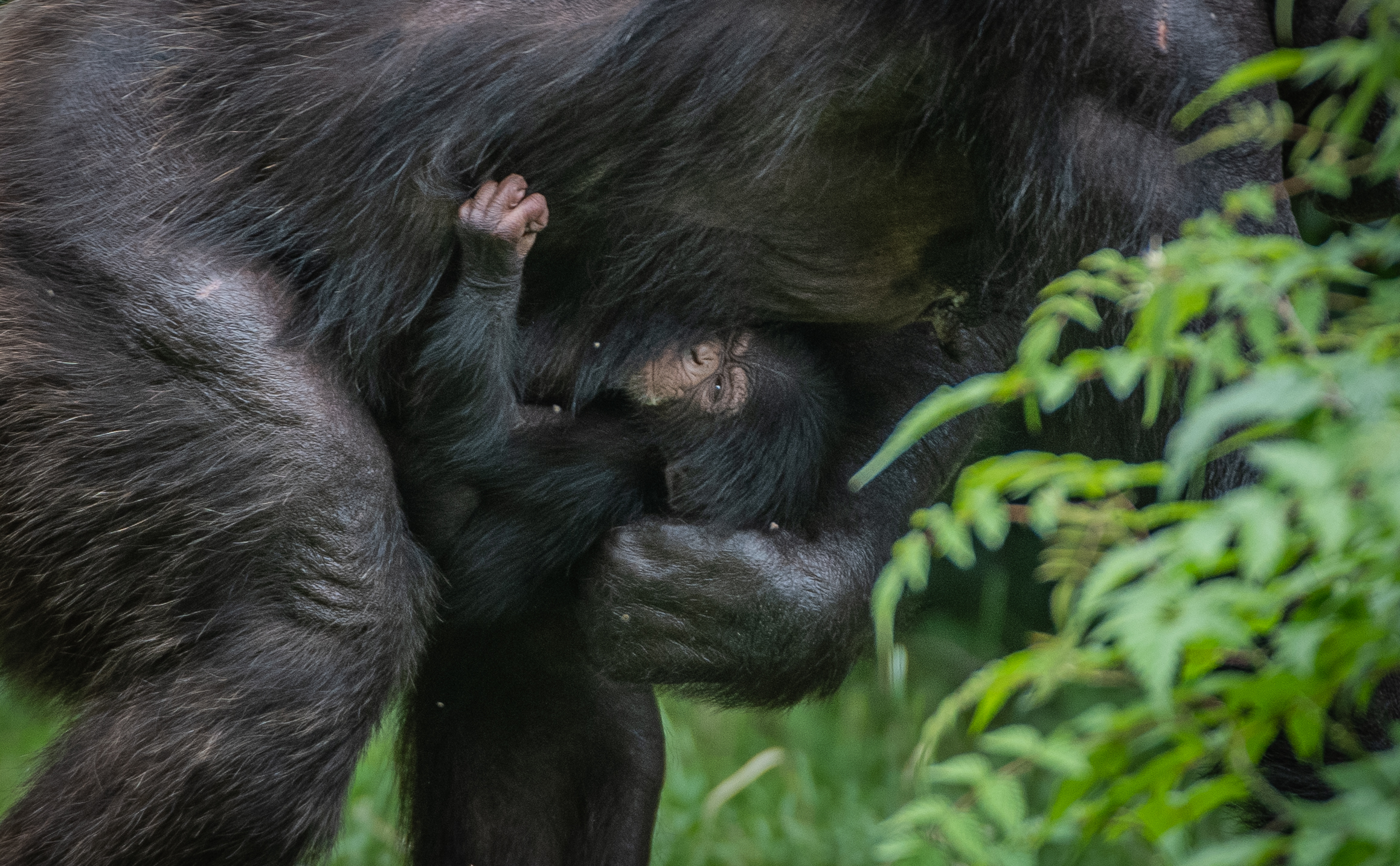 The endangered chimp was born in front of zoo visitors (Chester Zoo/PA)