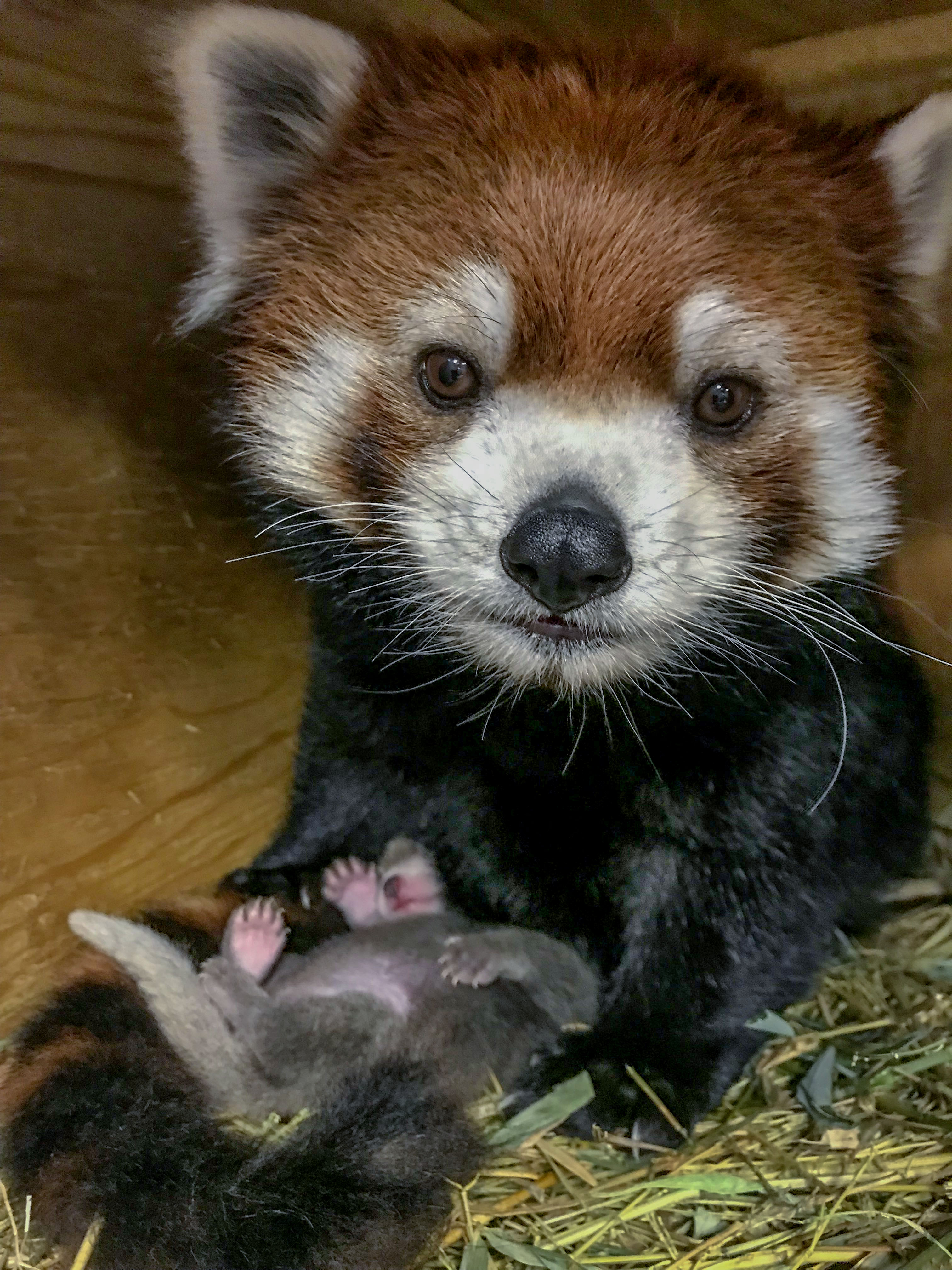 A baby red panda born at Milwaukee County Zoo