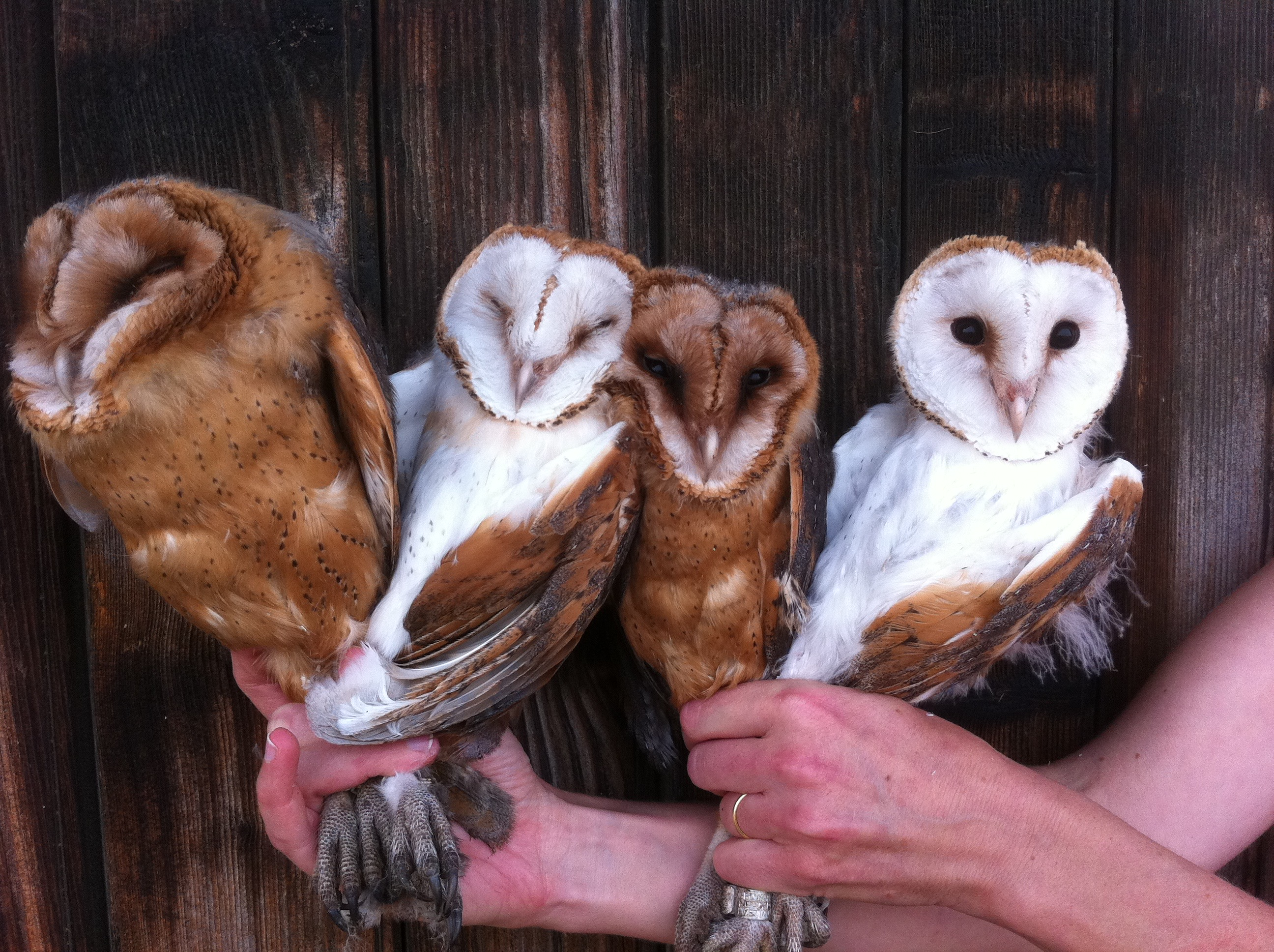 Nestling barn owls with varying colouration