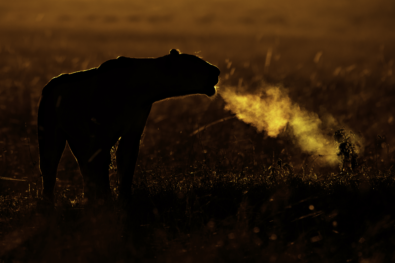 African Lion (Panthera leo) female calling on cold morning Maasai Mara, Kenya, Africa