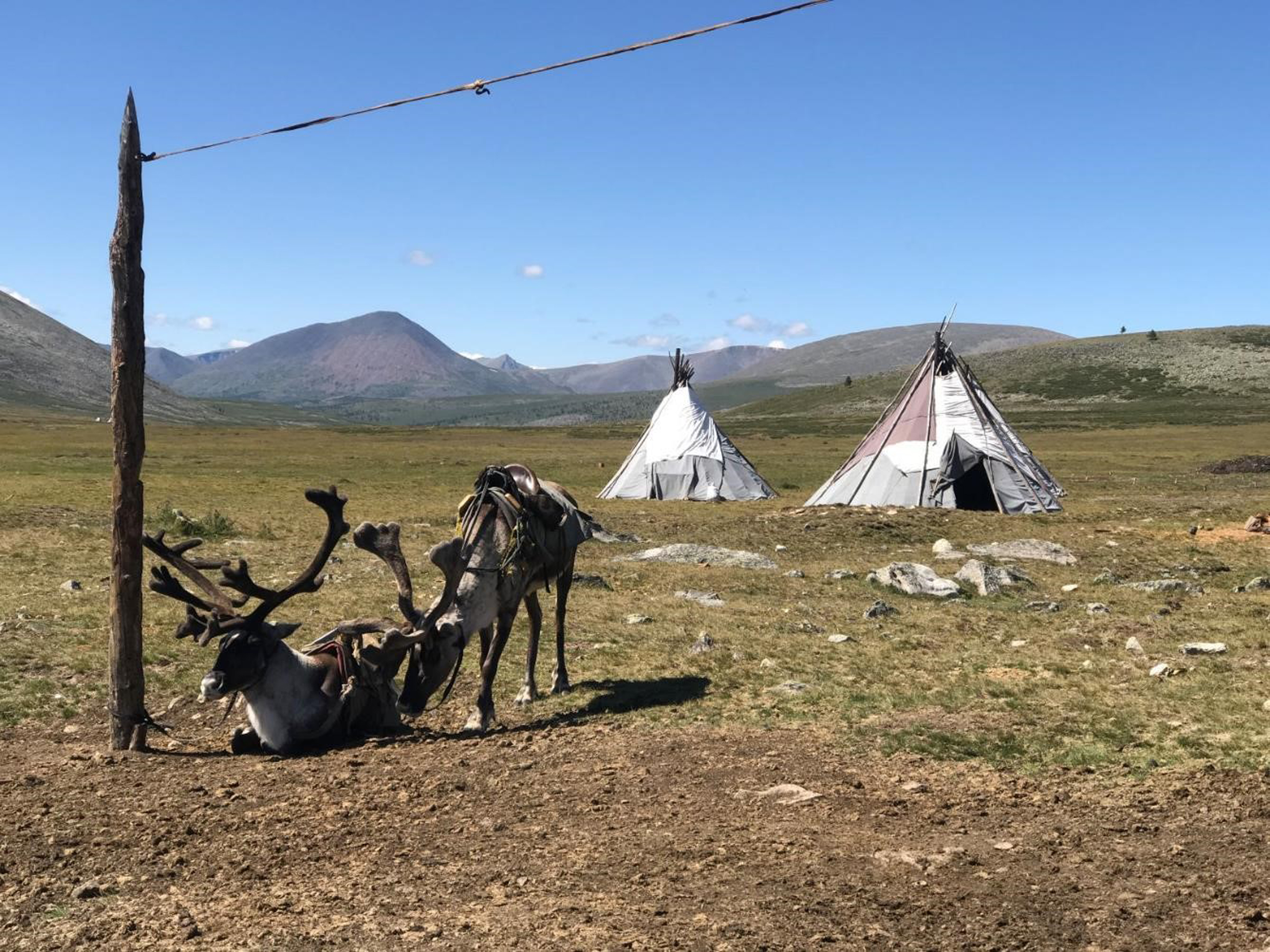 Domestic reindeer saddled for riding outside a Tsaatan summer camp in Khuvsgul province.