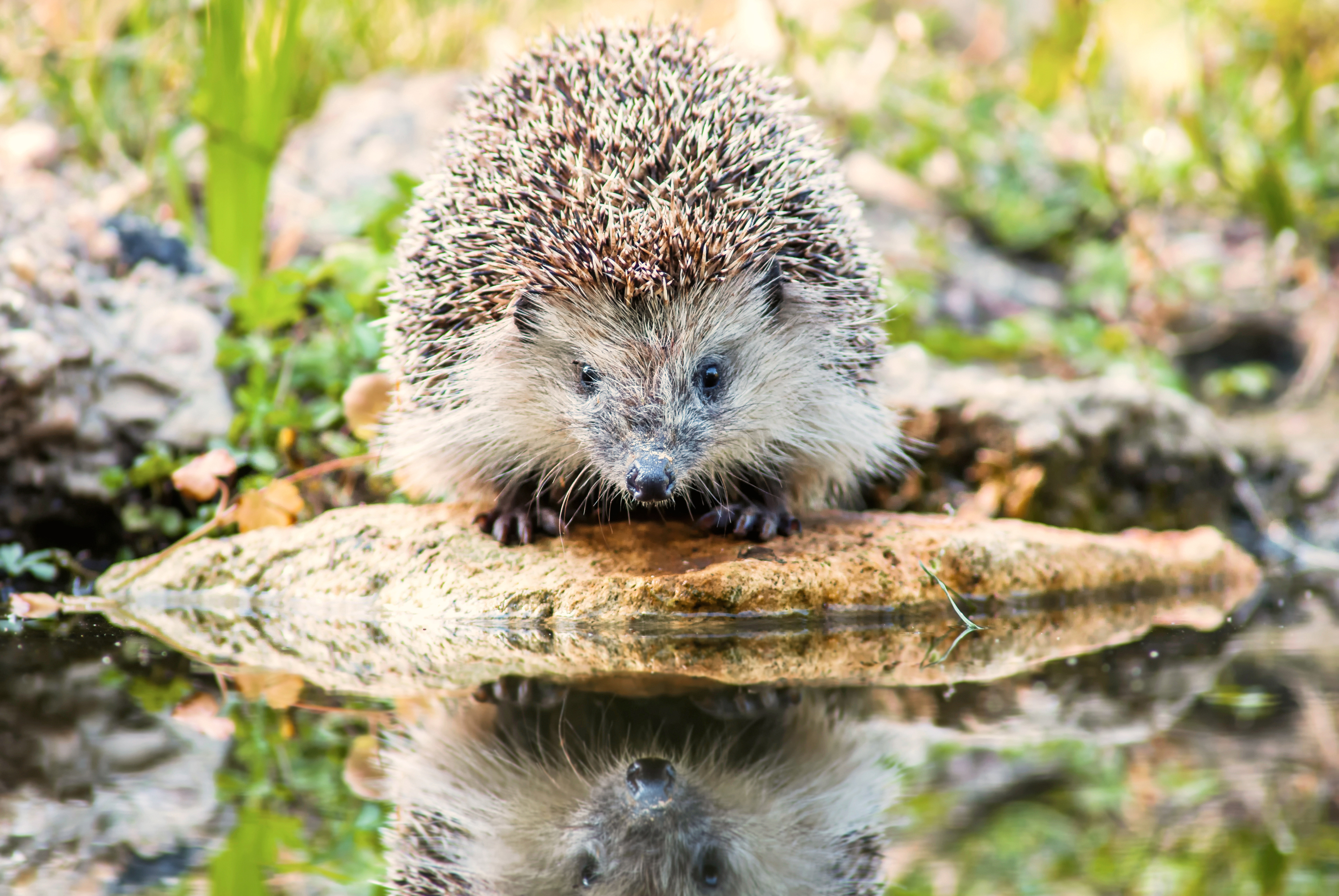 hedgehog by a pond