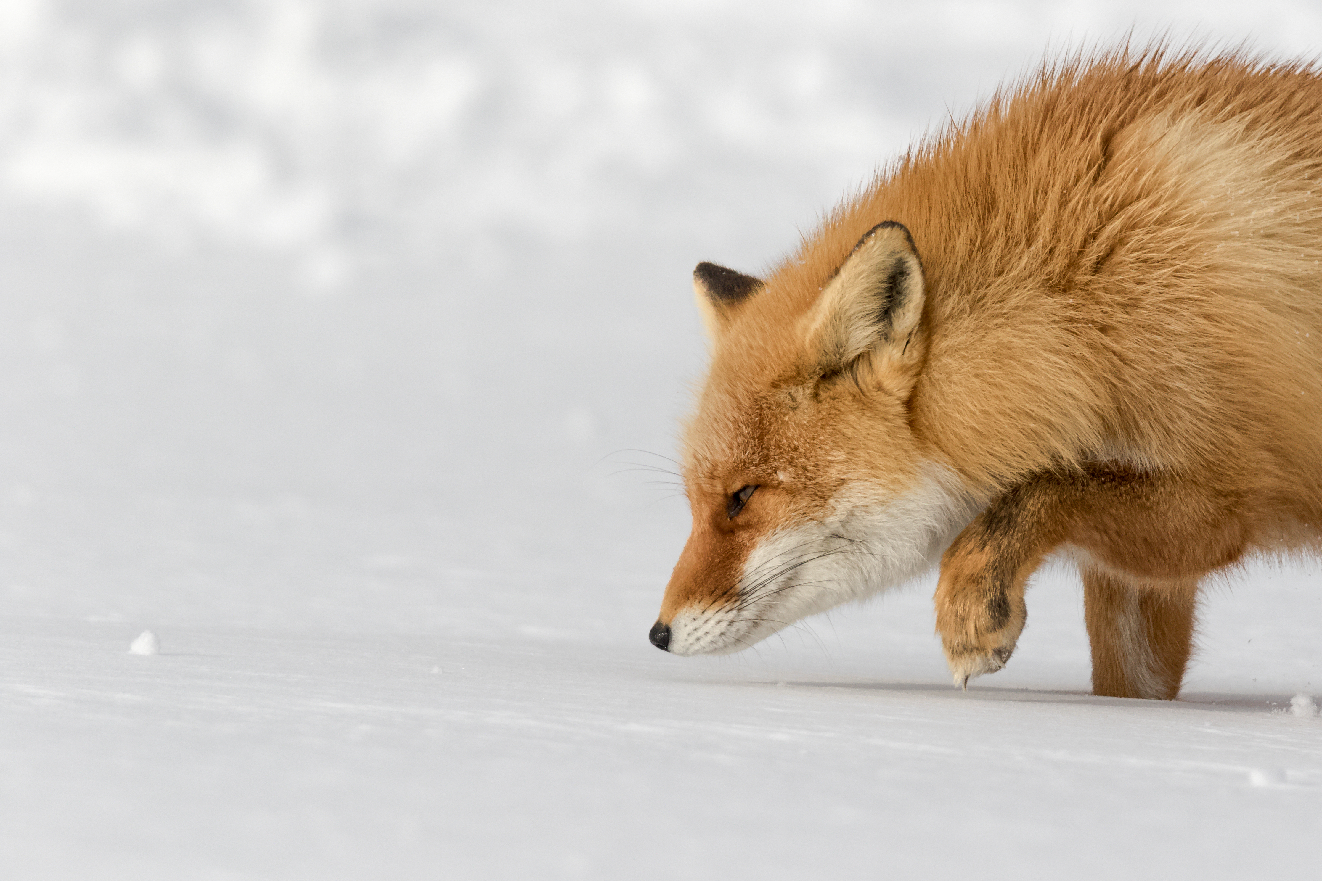 A fox stalking in the snow