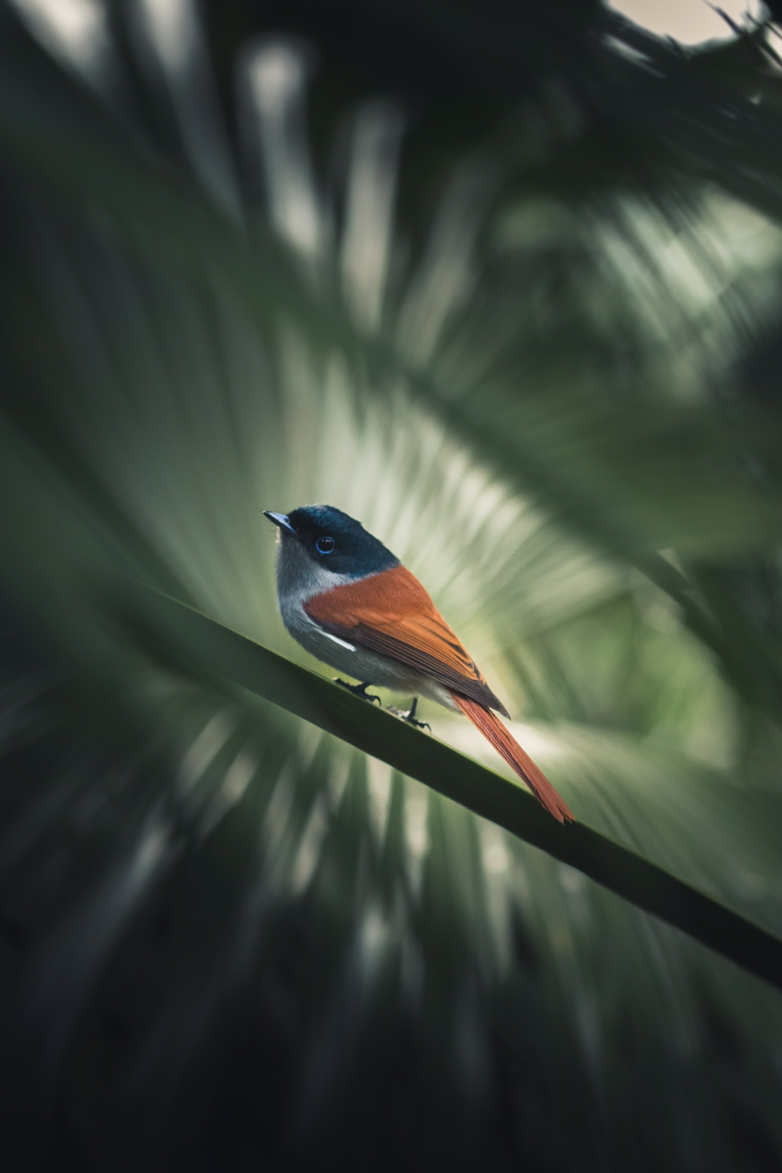 A Mascarene paradise flycatcher stands on a stem