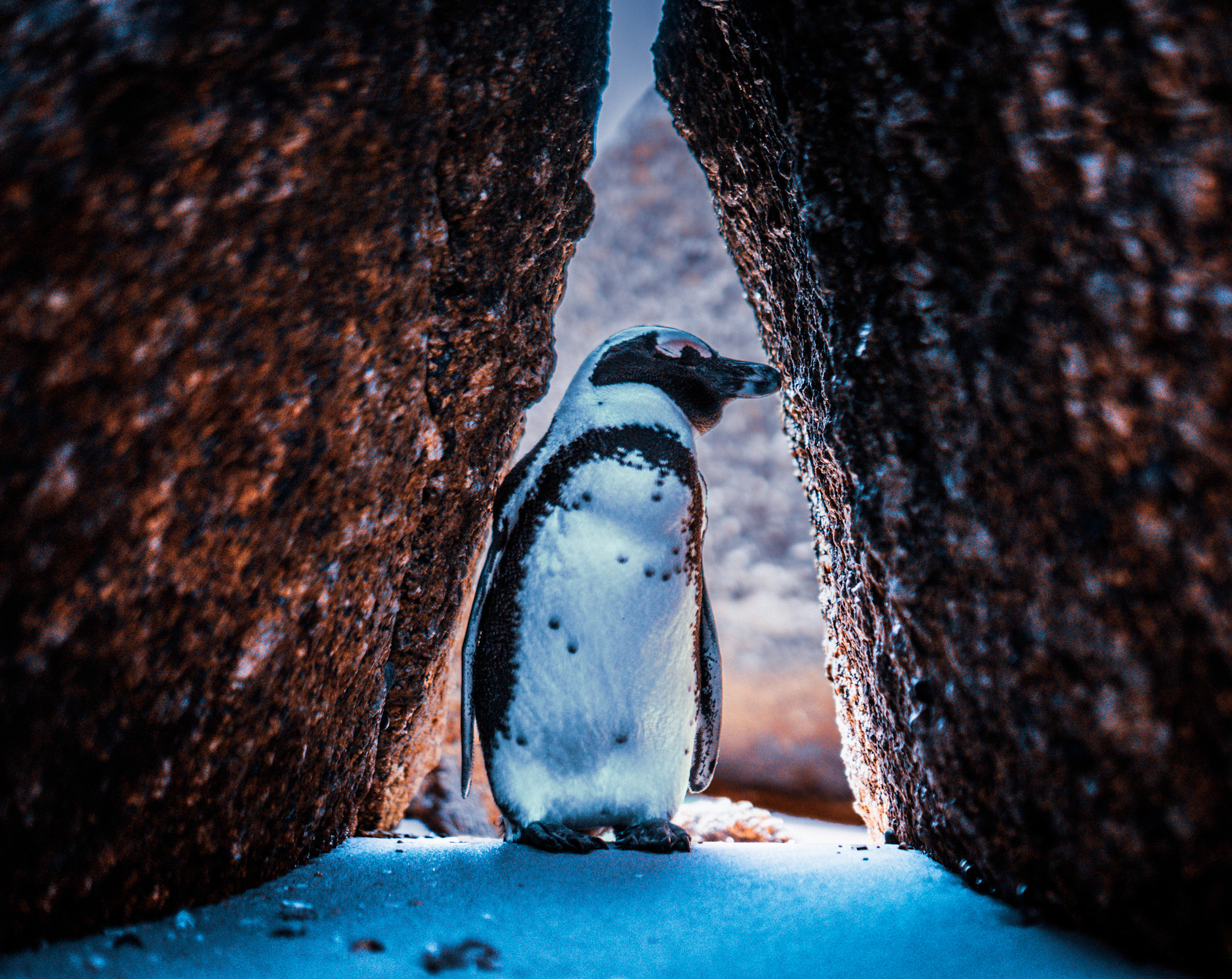 A penguin stares between two rocks