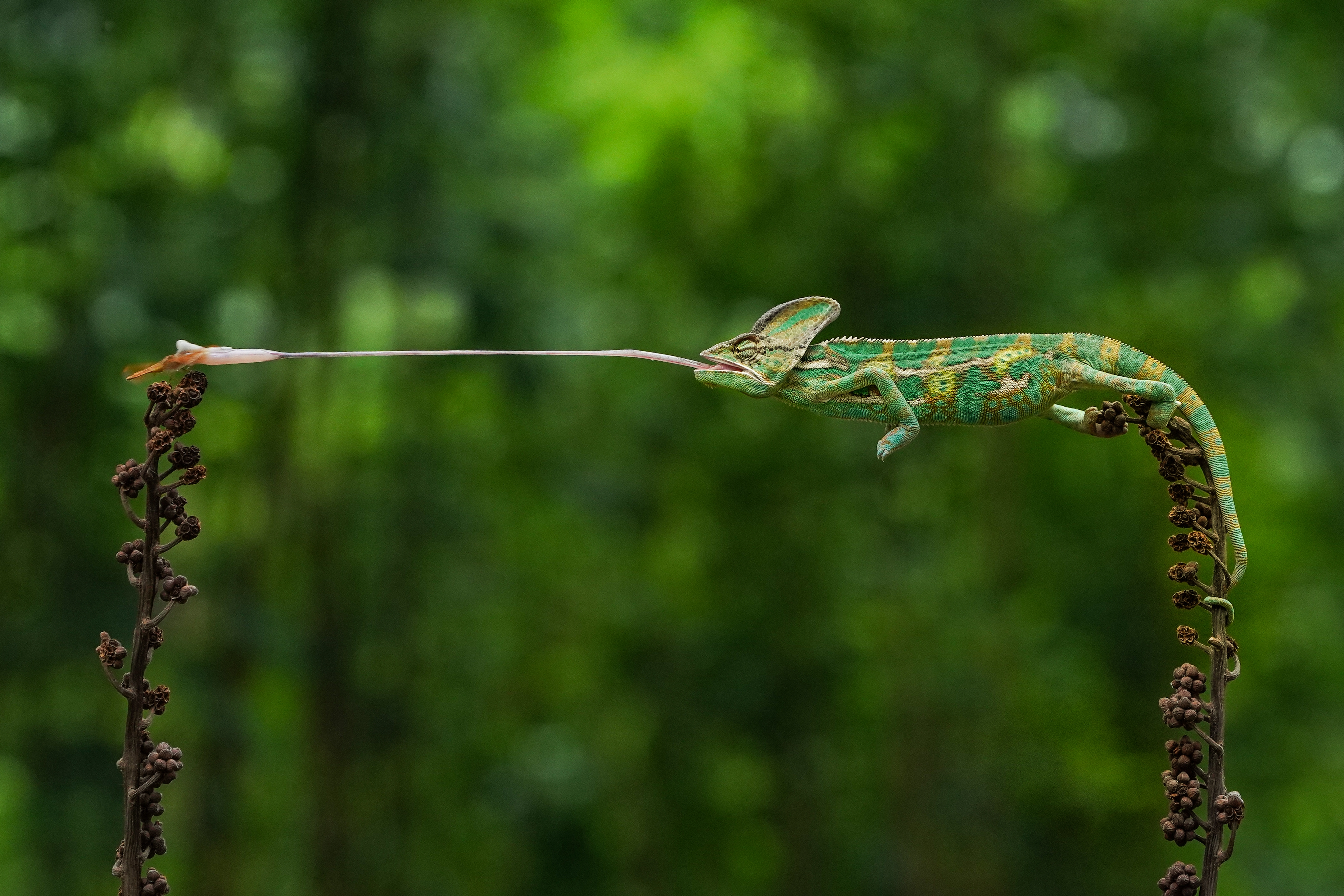 A chameleon catching a fly