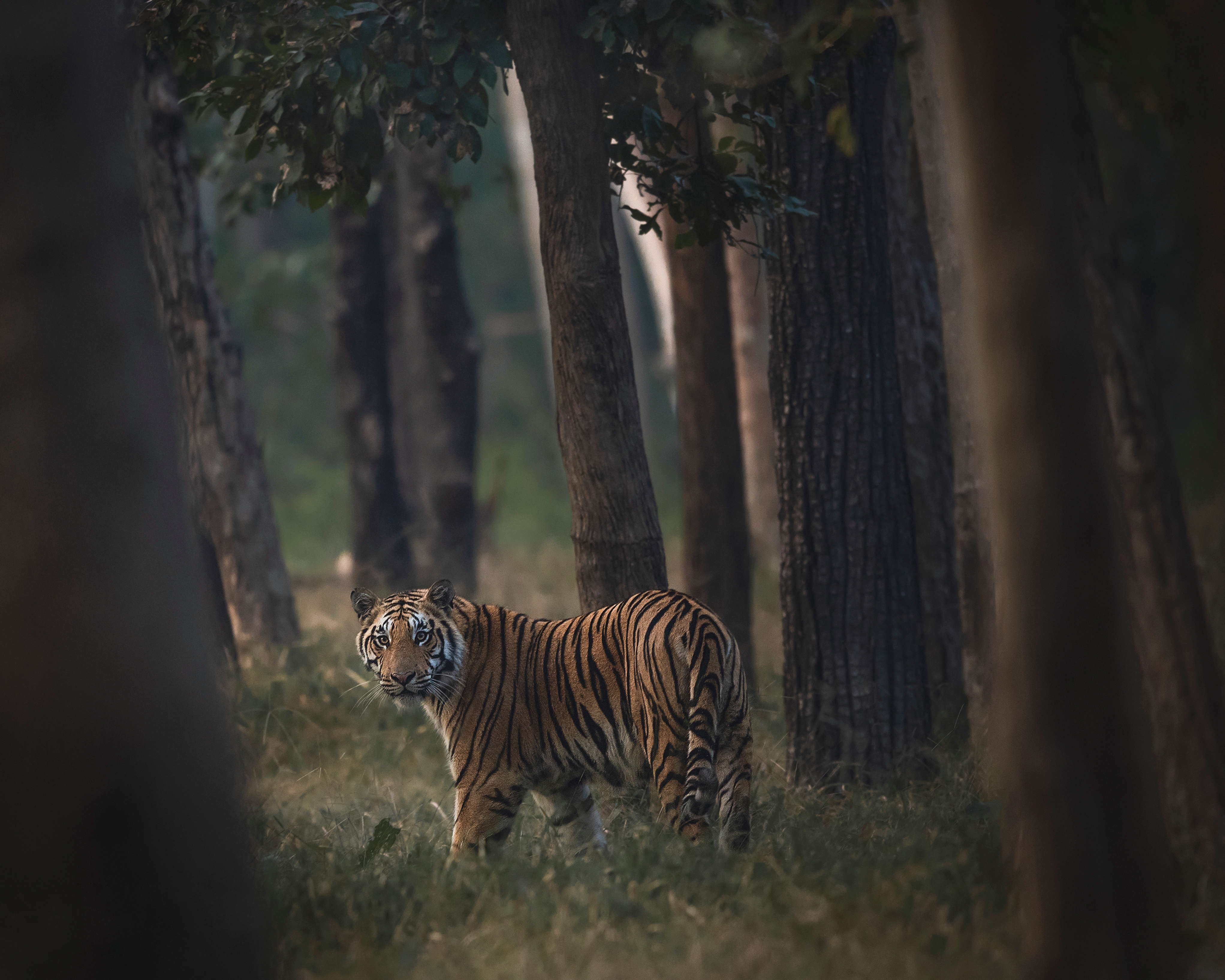 A tiger staring through the trees