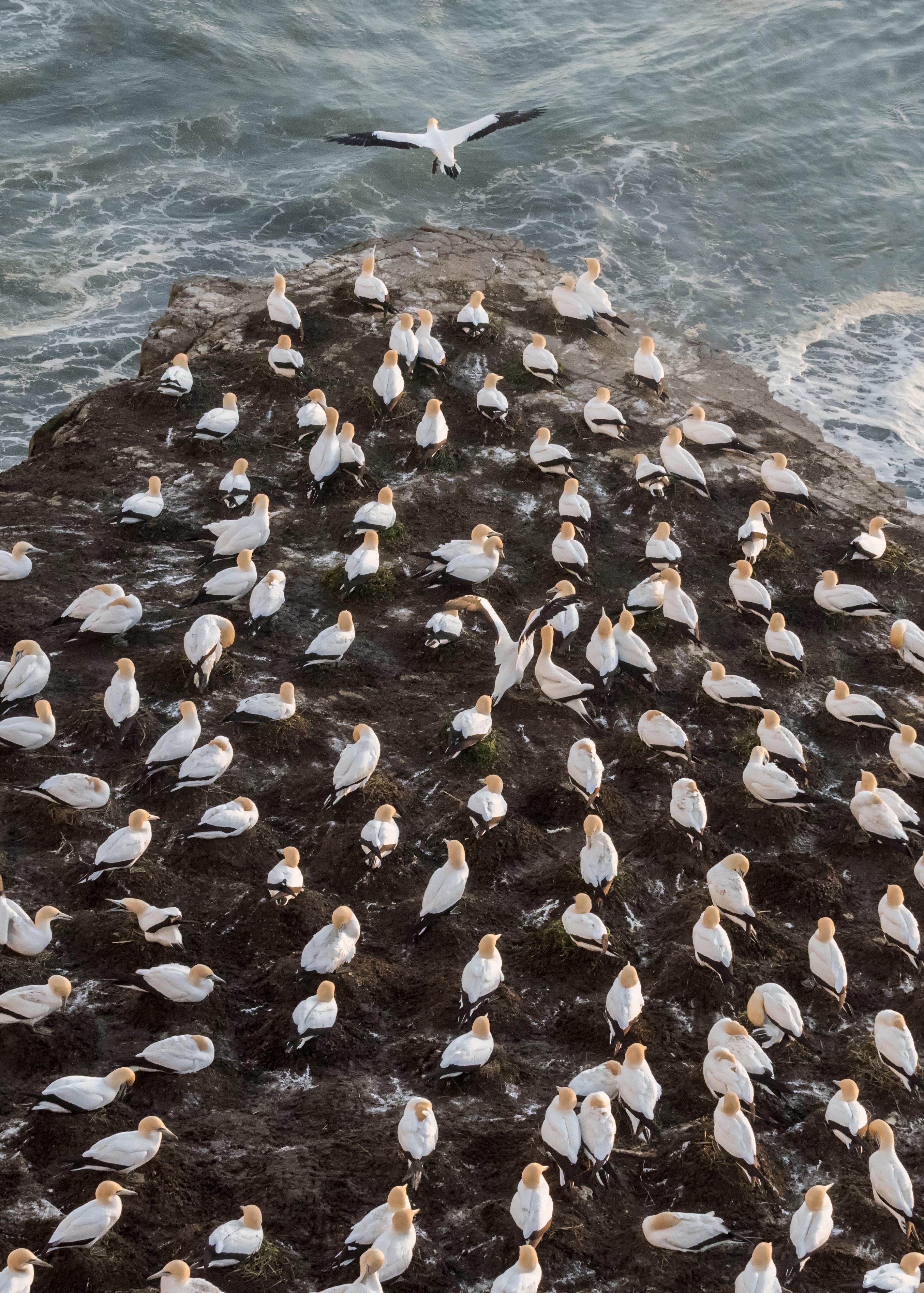 A single gannet flies away from the flock
