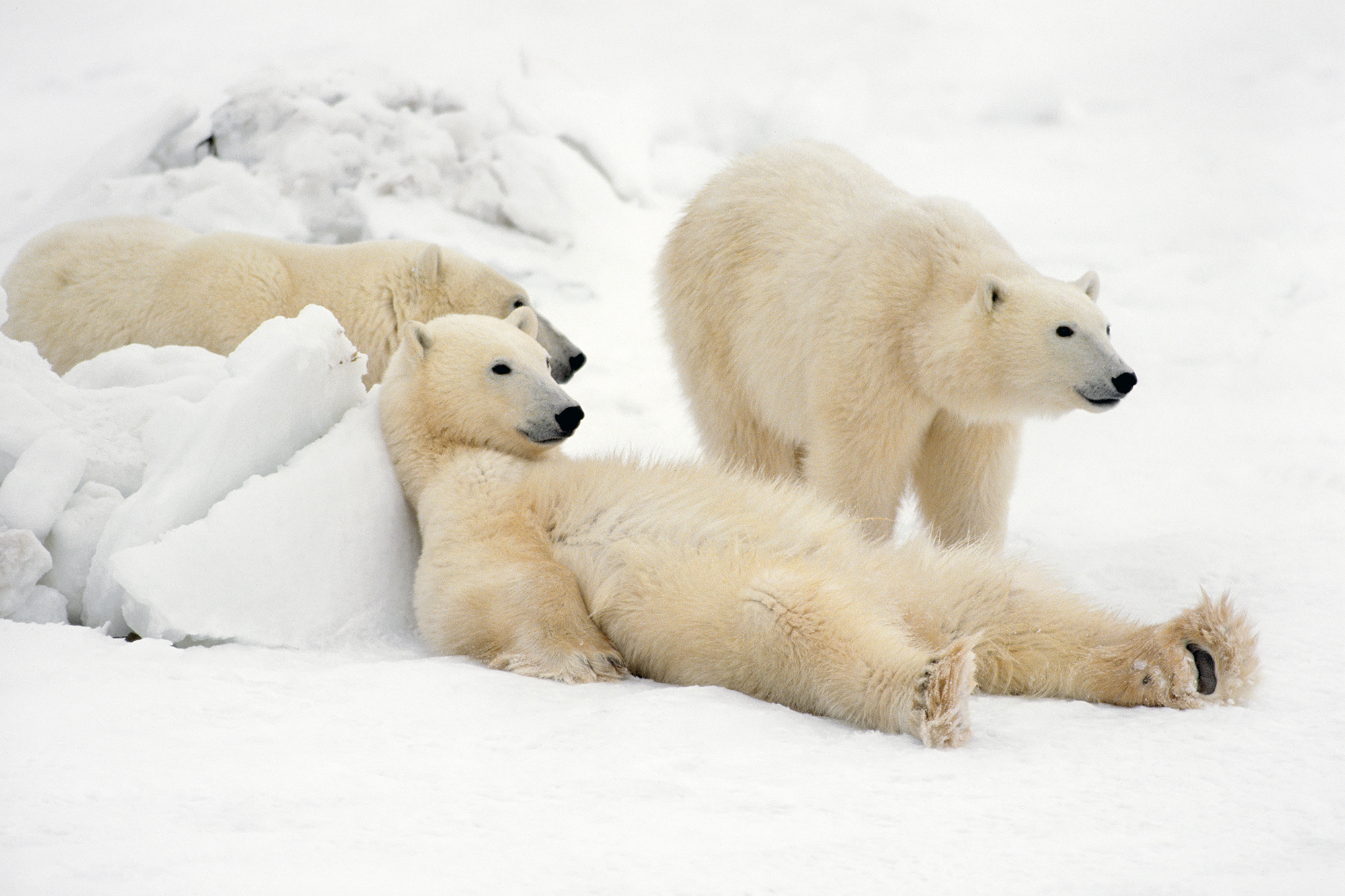 'Bad Boys of the Arctic', polar bears in Hudson Bay, Canada (Thomas D Mangelsen)