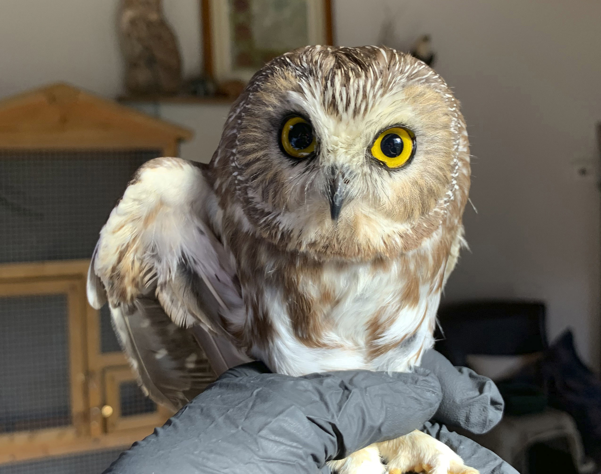 The owl will be released into the wild this weekend