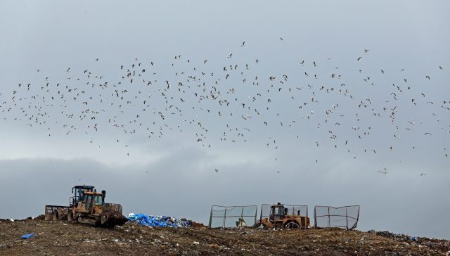 A flock of seagulls fly above a landfill site in Cambridgeshire