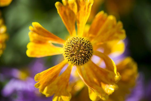 A new species of Aspalathus (Royal Botanic Gardens, Kew/PA)