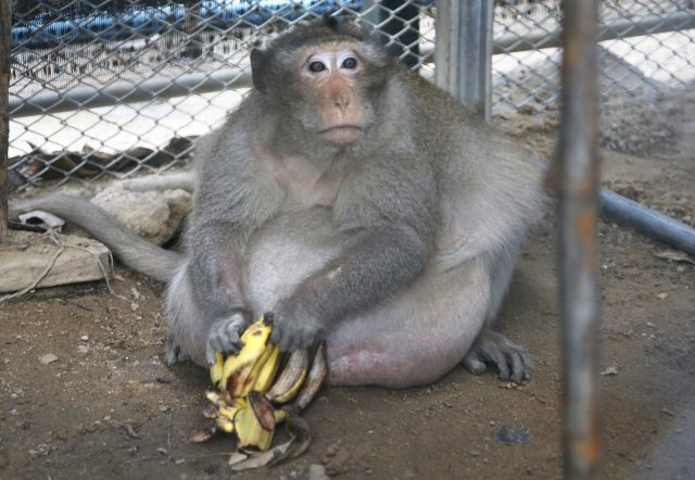 The wild macaque weighs about 60lb (Sakchai Lalit/AP)