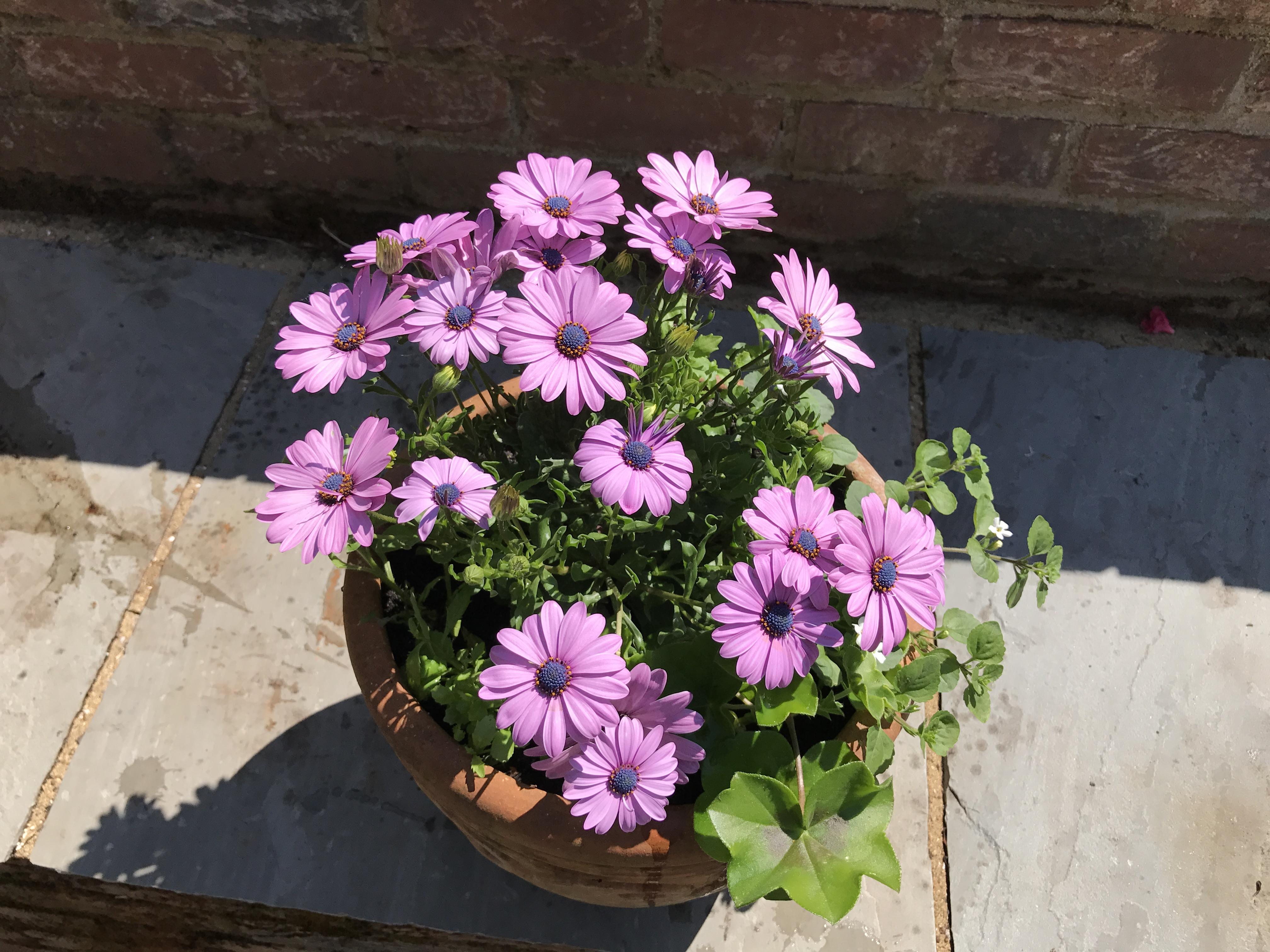 Osteospermum pot (Hannah Stephenson/PA)