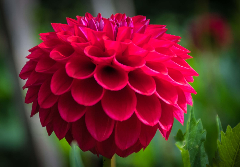 Late Summer Flowering Dahlia (Thinkstock/PA)