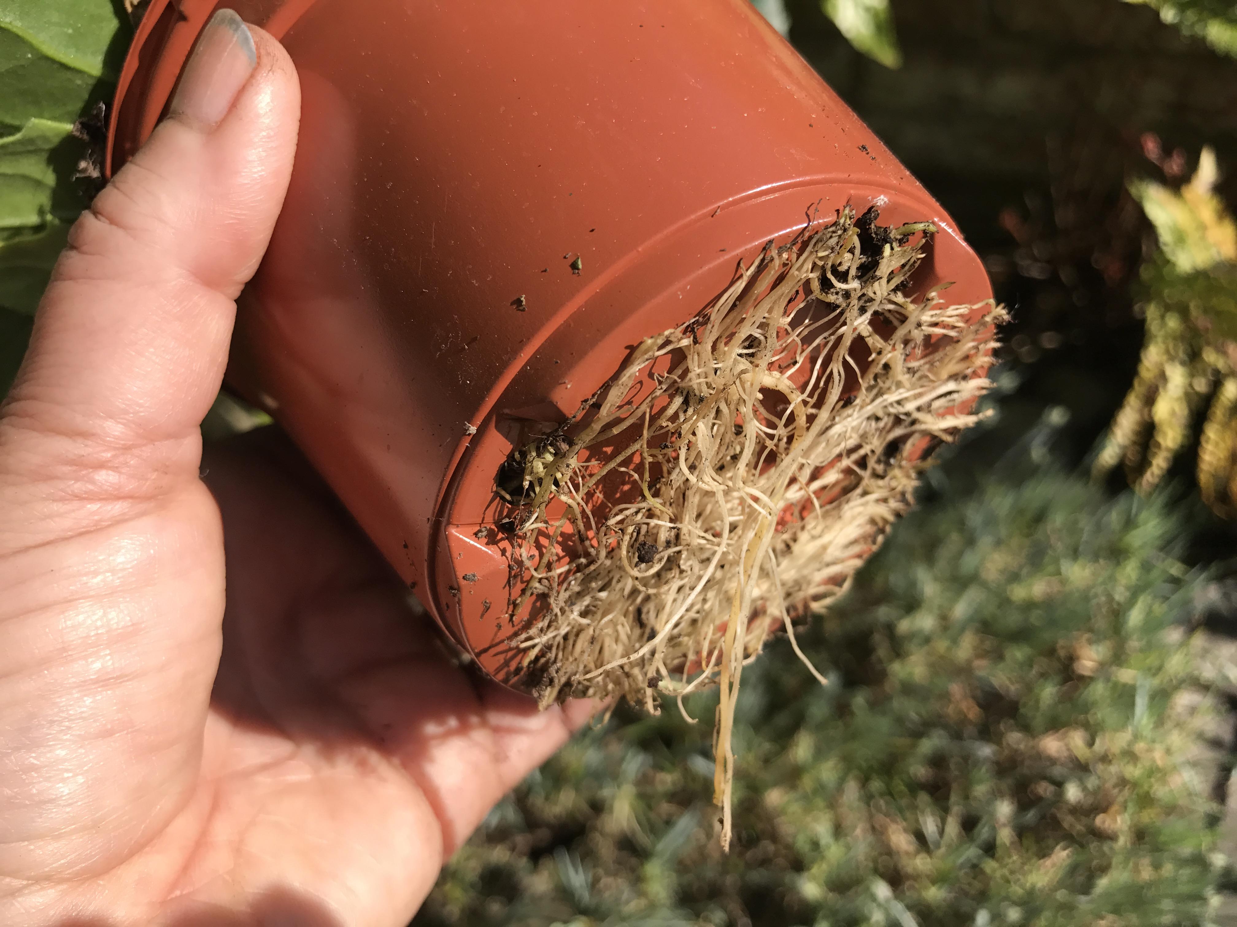 Avoid pot-bound plants. (Hannah Stephenson/PA)