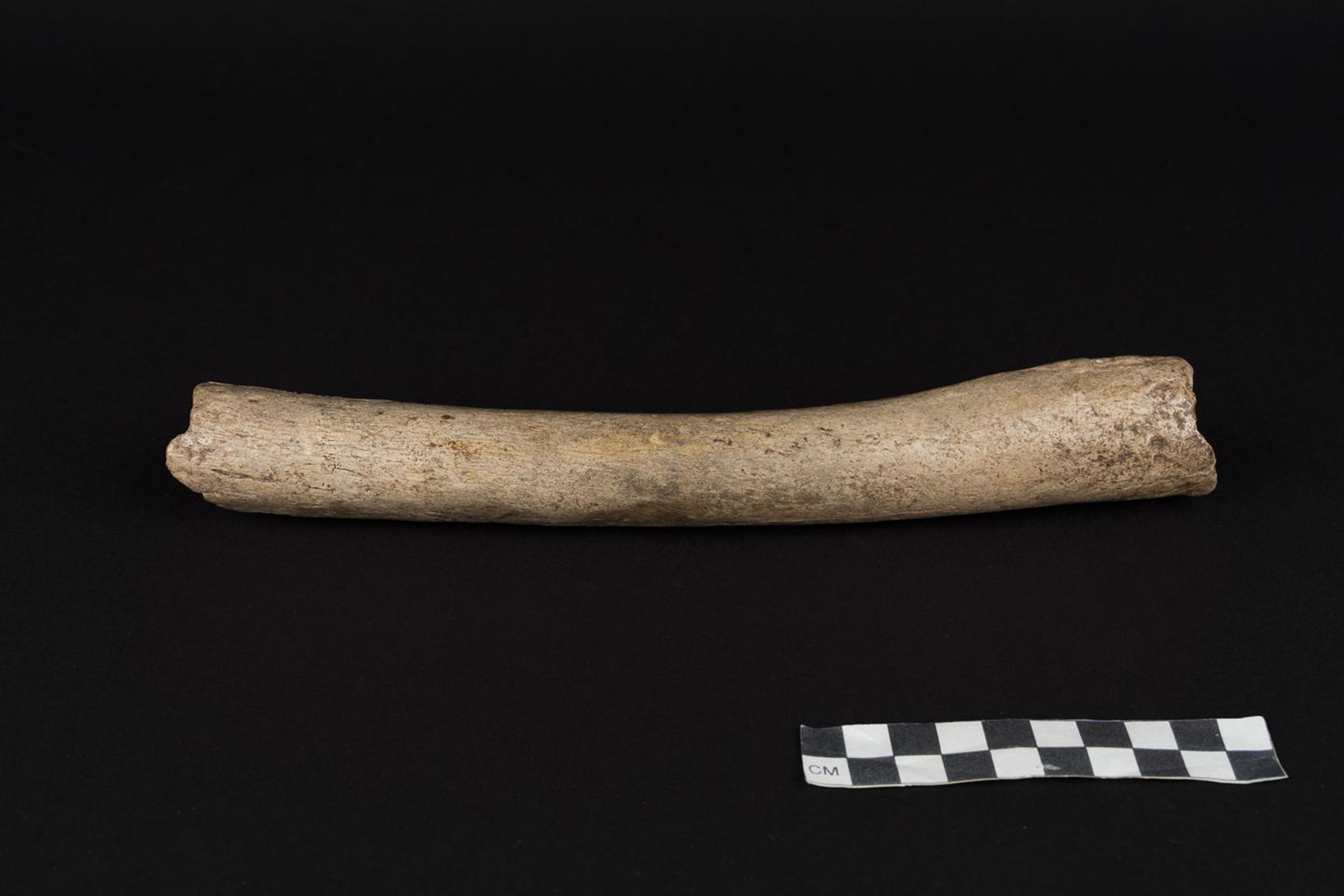 The femur bone from which mitochondrial DNA was extracted.