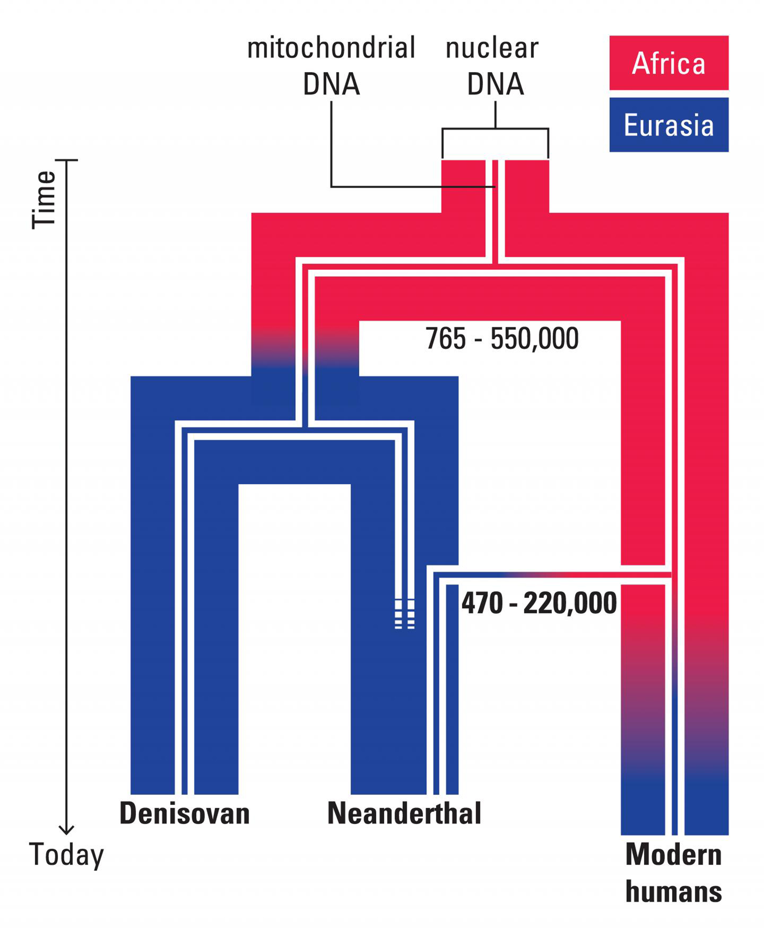 A representation of the evolutionary scenario for mitochondrial and nuclear DNA in archaic and modern humans.