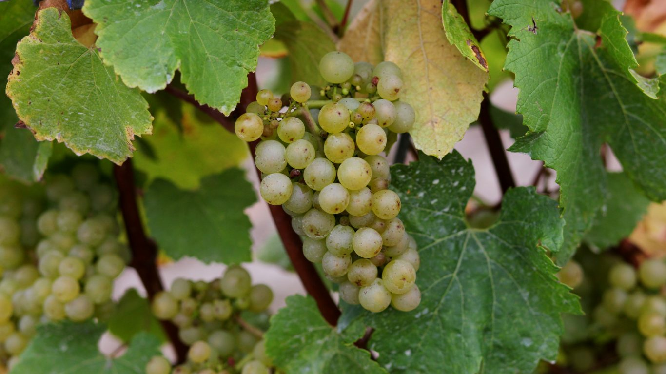 Chardonnay grapes ready for harvest at the Chapel Down Vineyard in Kent (Gareth Fuller/PA)