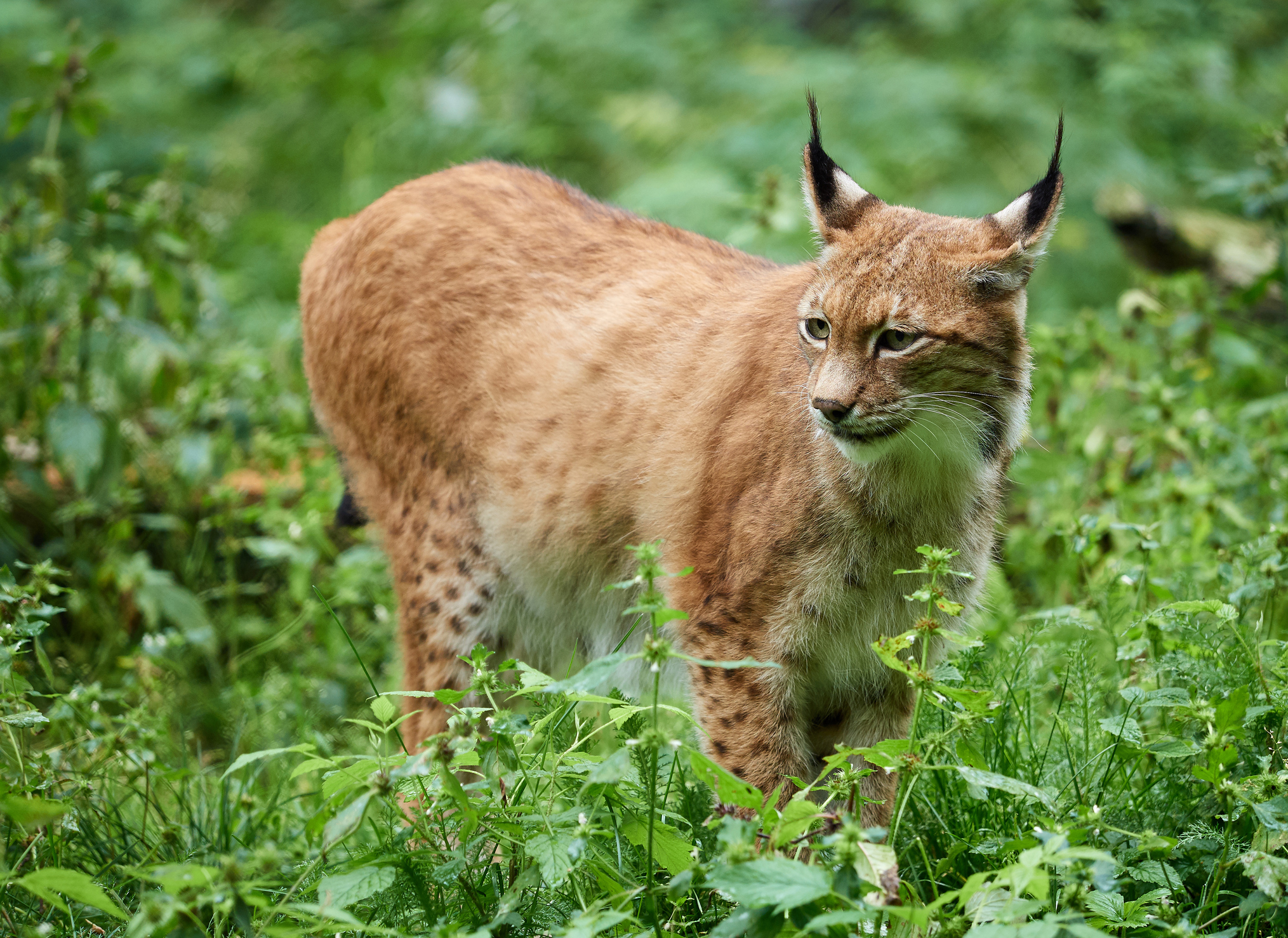 everything you need to know about the move to reintroduce lynx to