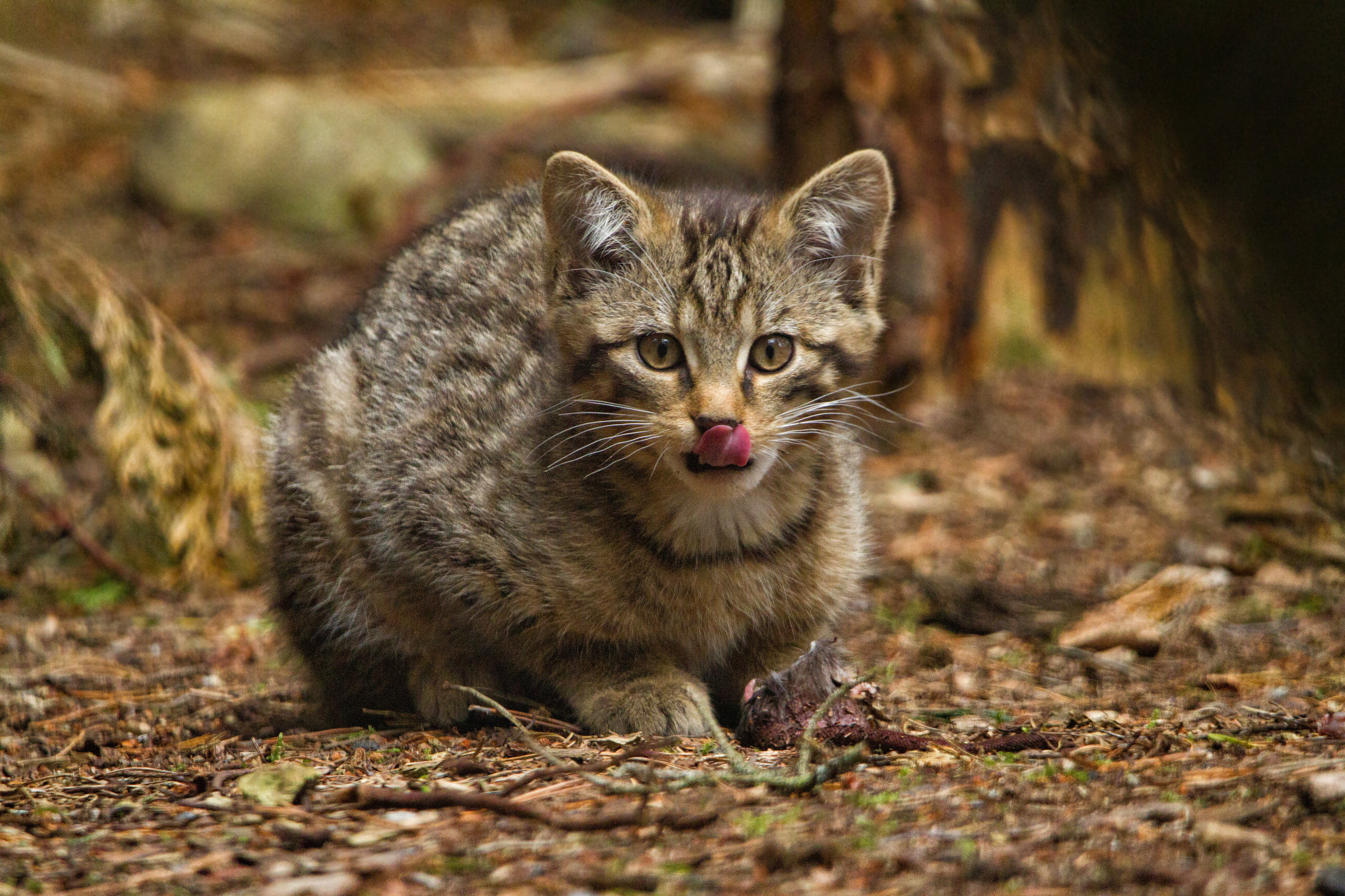 What Wild Animals Eat Cats