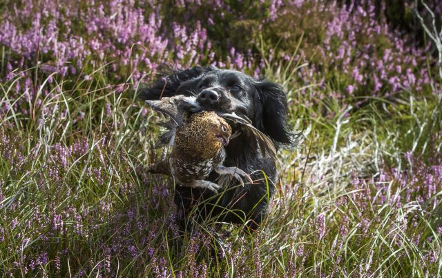A dog retrieves a shot grouse (Danny Lawson/PA)