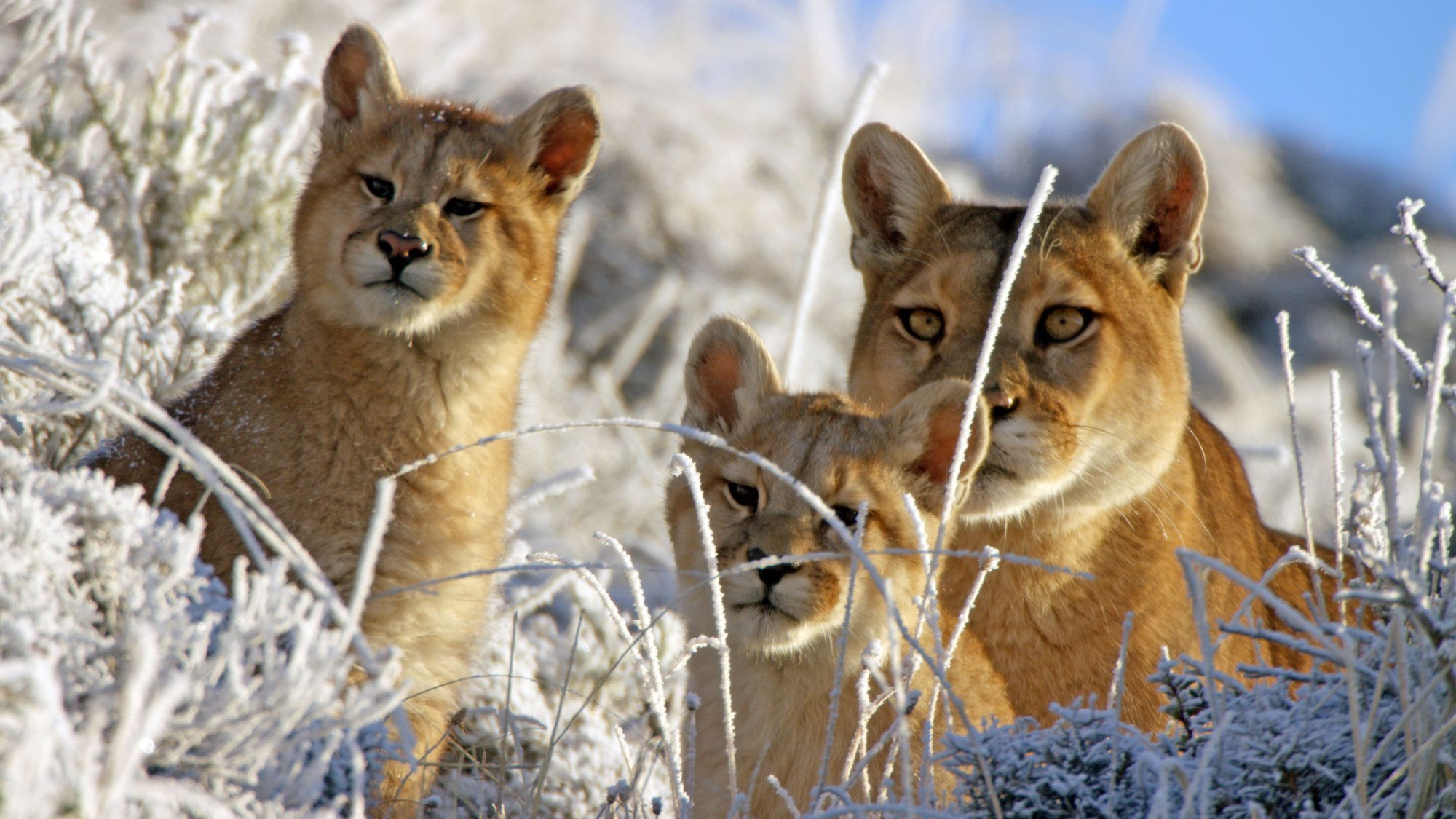 Pumas in Torres del Paine National Park, in the Andes (BBC/PA)