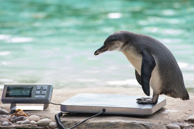 London Zoo conducts the annual weigh