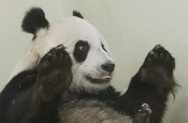 Baby panda 'could be born at Edinburgh Zoo tomorrow'
