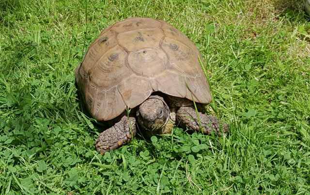 A pet tortoise in a garden in Grimsby, Lincolnshire.