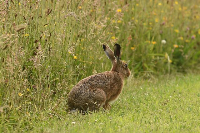A hare sits in the grass in High Wood Cemetery in Bulwell, Nottingham