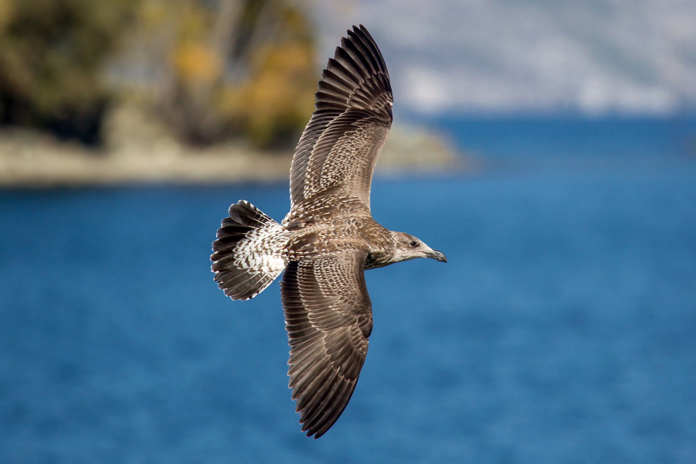 Could a sea bird's sense of smell be key to navigating the
