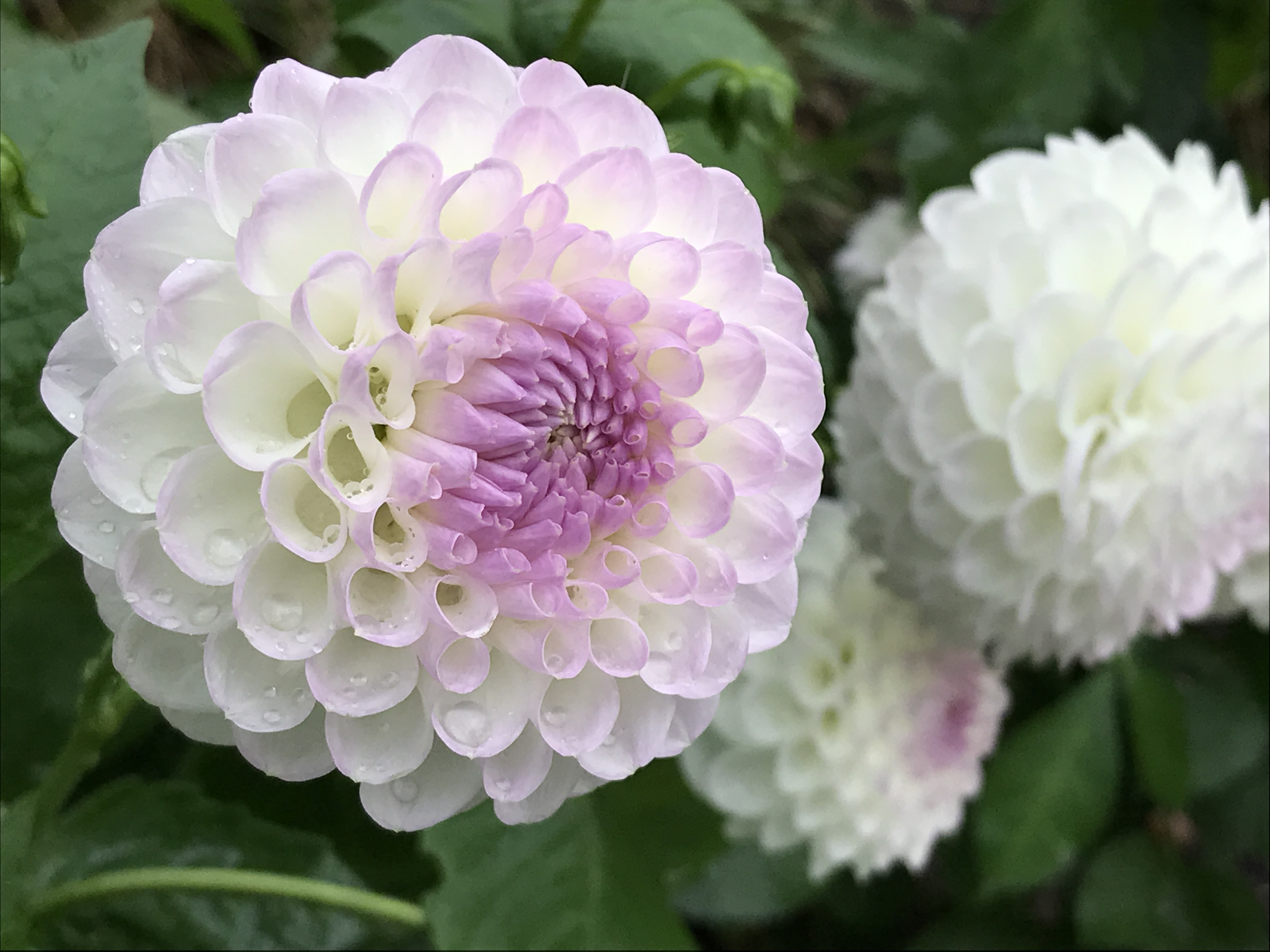 7 ways to make sure your dahlias dazzle this summer irish examiner dahlia josie gott hannah stephensonpa izmirmasajfo