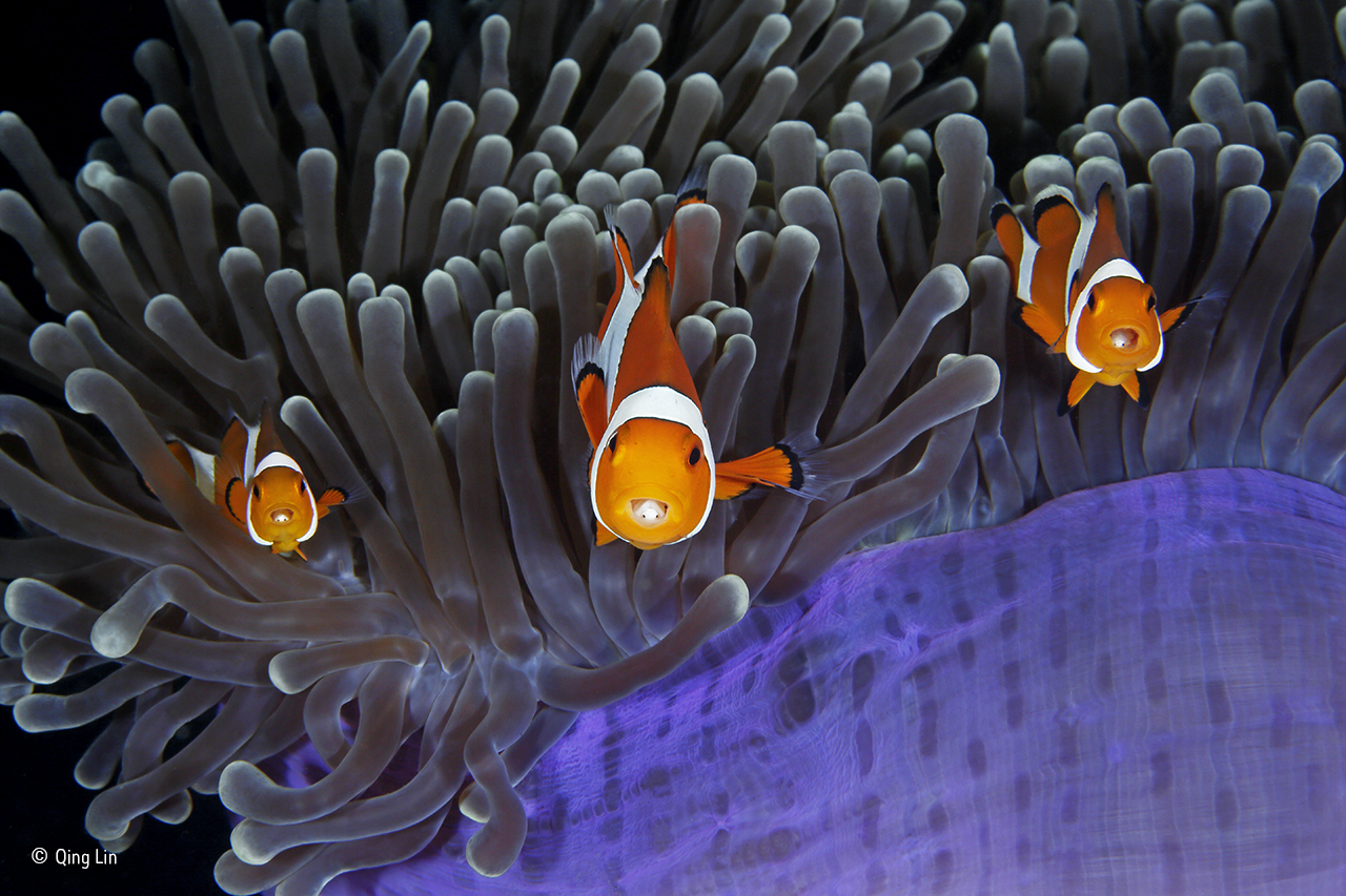 Anemonefish with parasites