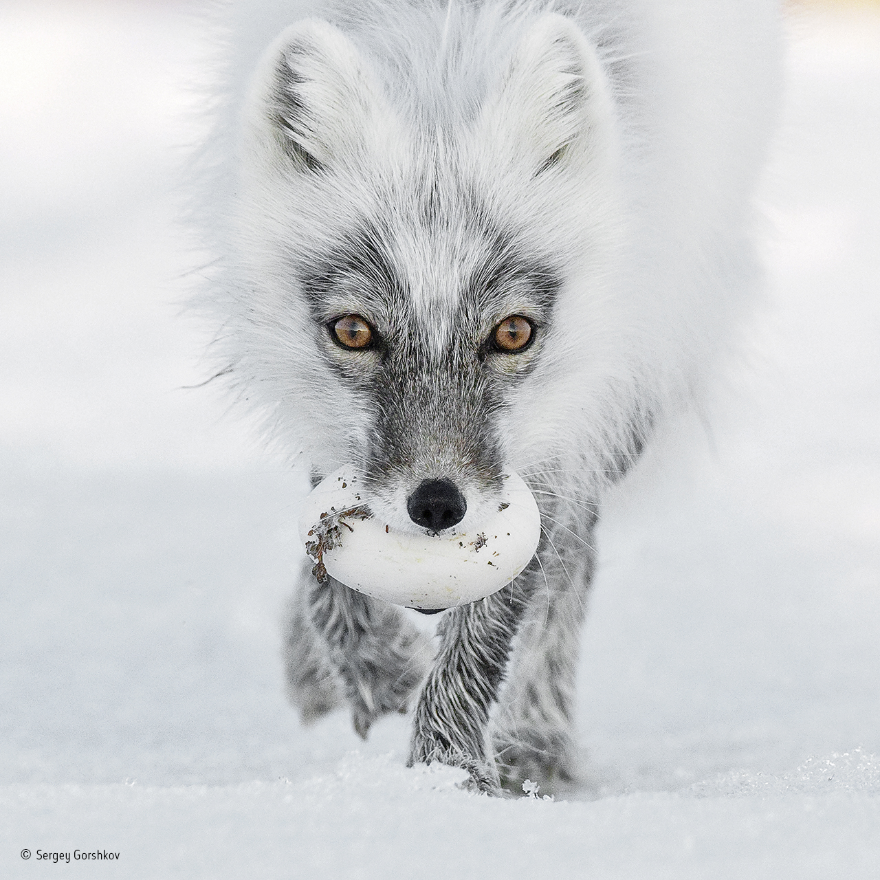 Russia, Wrangel Island, The Arctic fox with an egg (Sergey Gorshkov/PA)
