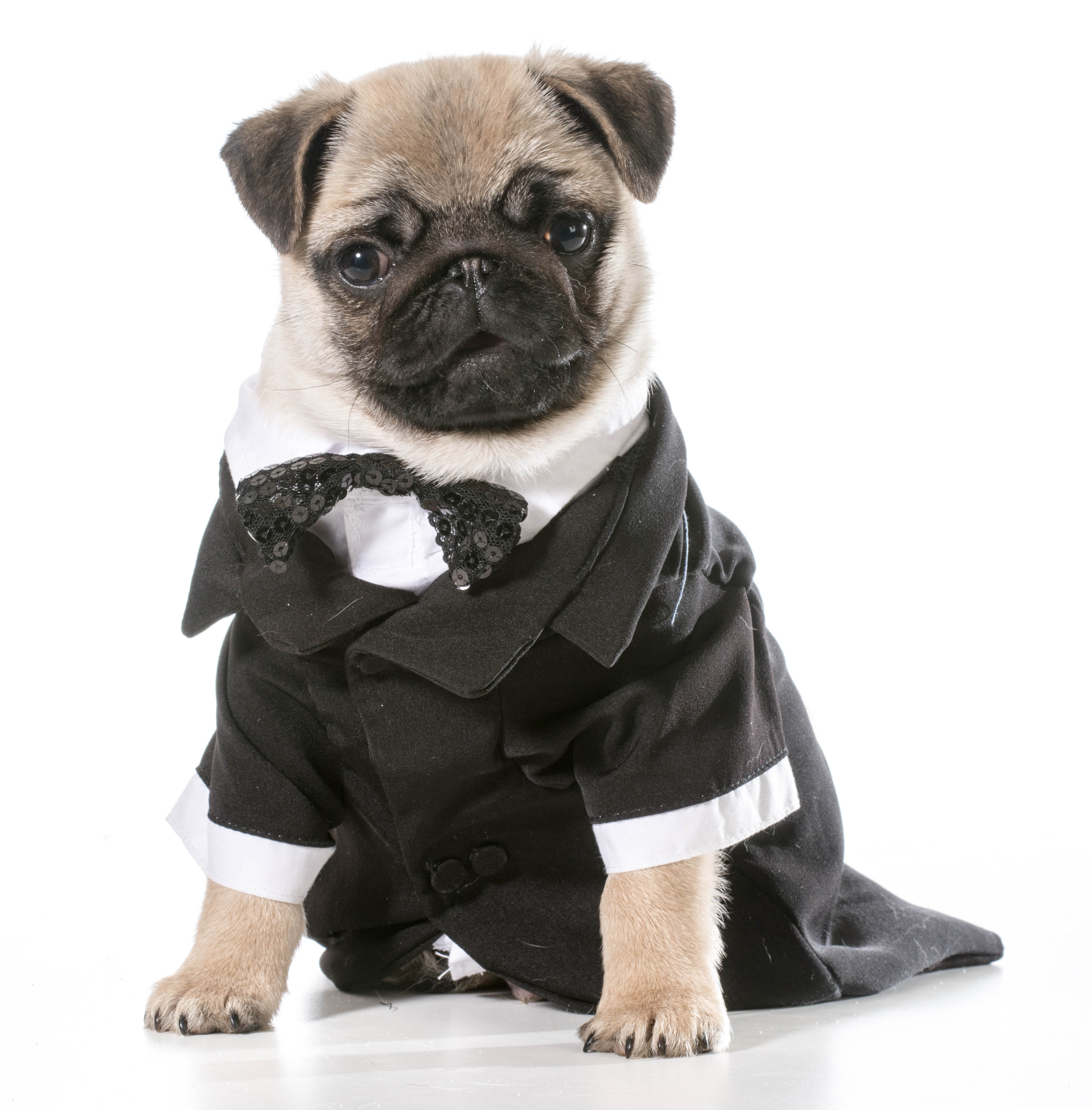 Pug in a tuxedo(WilleeCole/Getty Images)